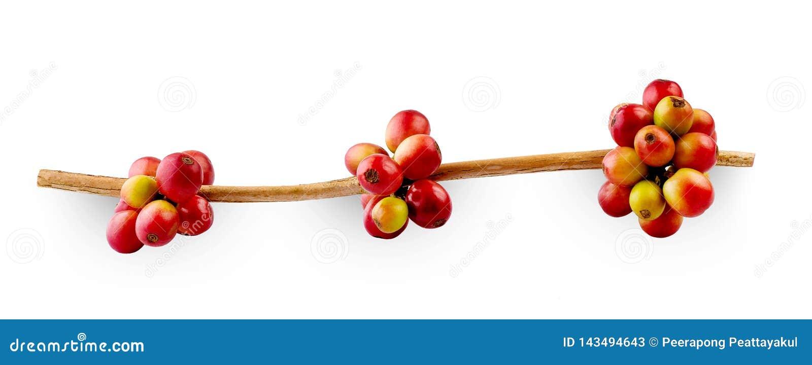 Κόκκινα φασόλια καφέ σε έναν κλάδο των ώριμων και unripe μούρων δέντρων καφέ, που απομονώνονται στο άσπρο υπόβαθρο