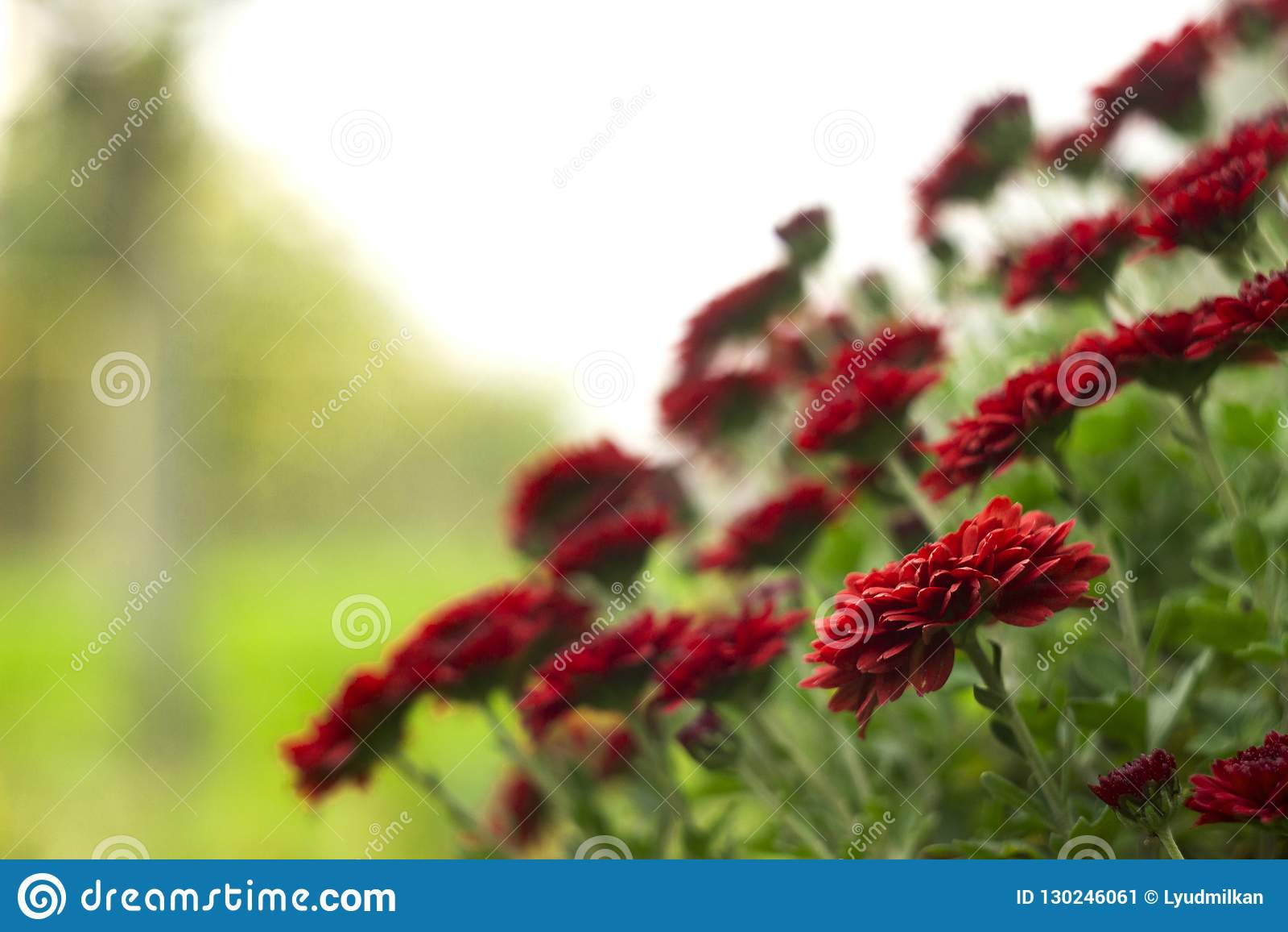 Κόκκινα χρυσάνθεμα στον κήπο, φωτεινά λουλούδια φθινοπώρου όπως chamomile
