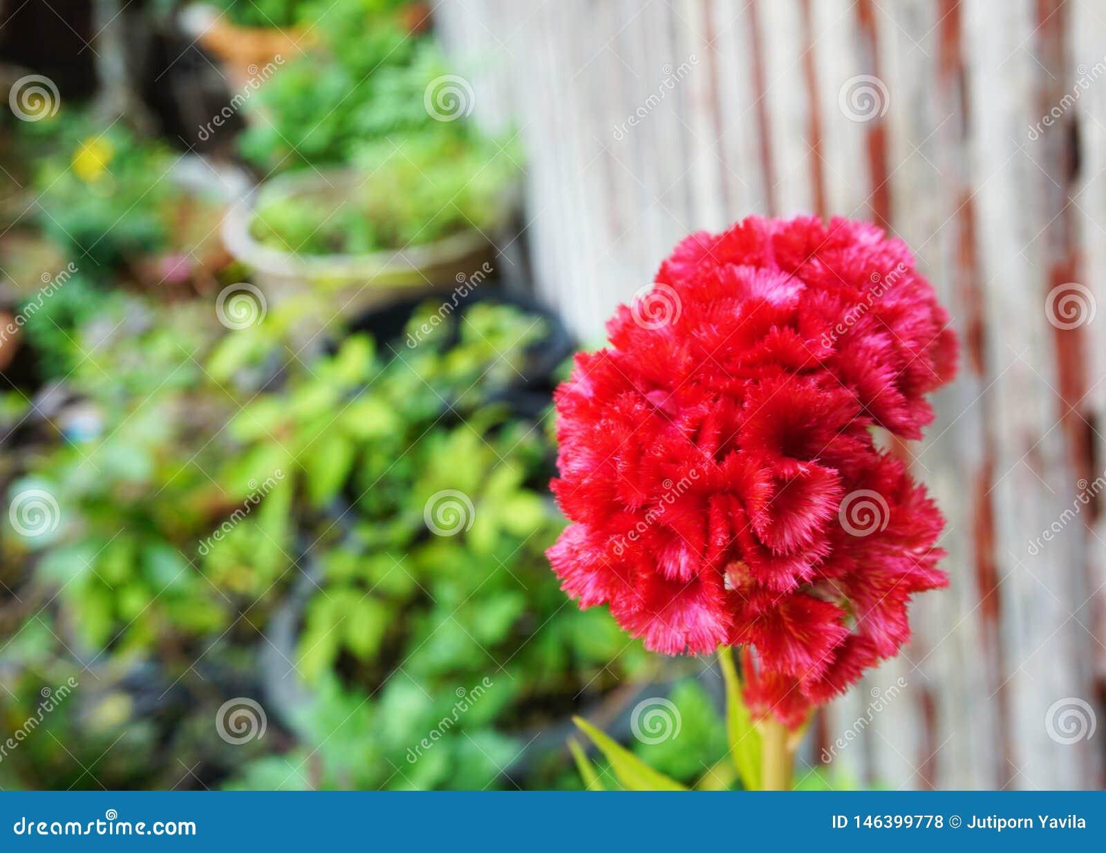 Κόκκινα όμορφα λουλούδια μεταξύ των λουλουδιών