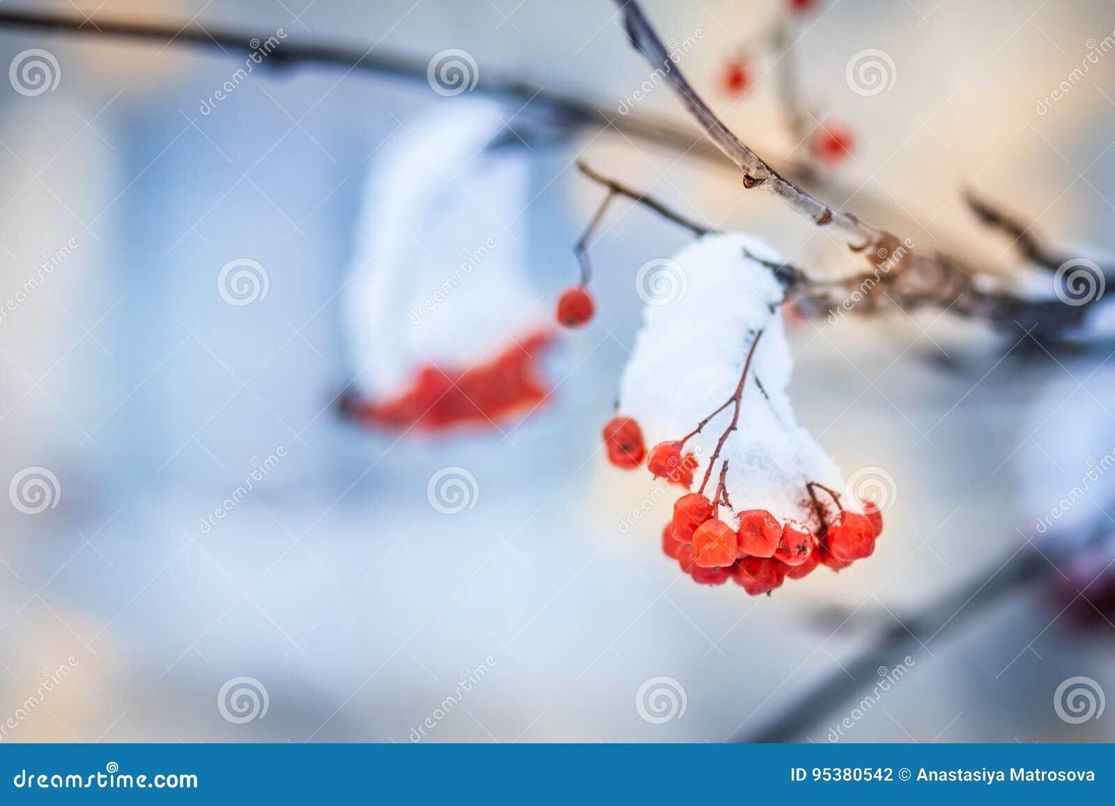 Κόκκινες δέσμες της σορβιάς που καλύπτονται με το πρώτο χιόνι
