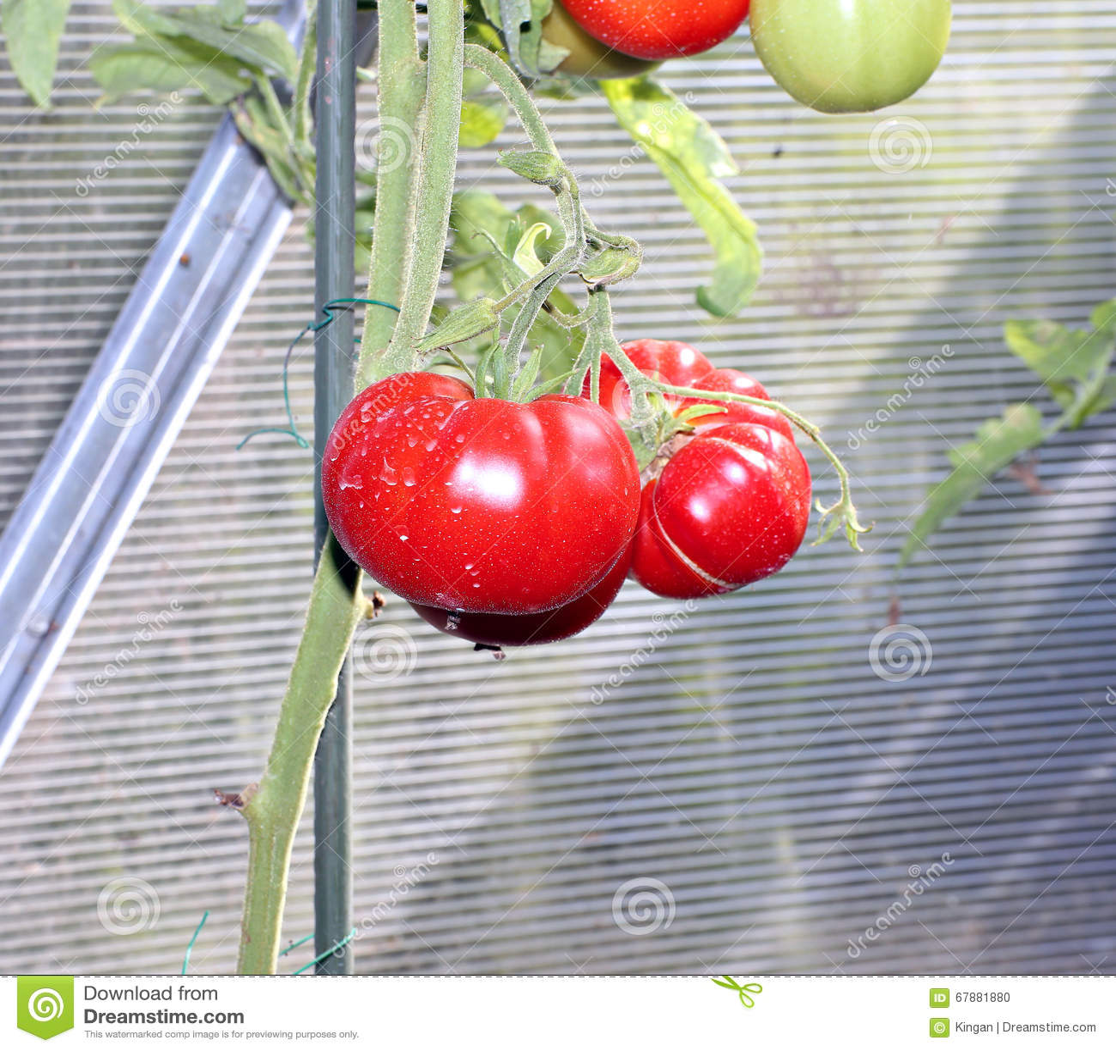 Κόκκινες ντομάτες σε ένα θερμοκήπιο
