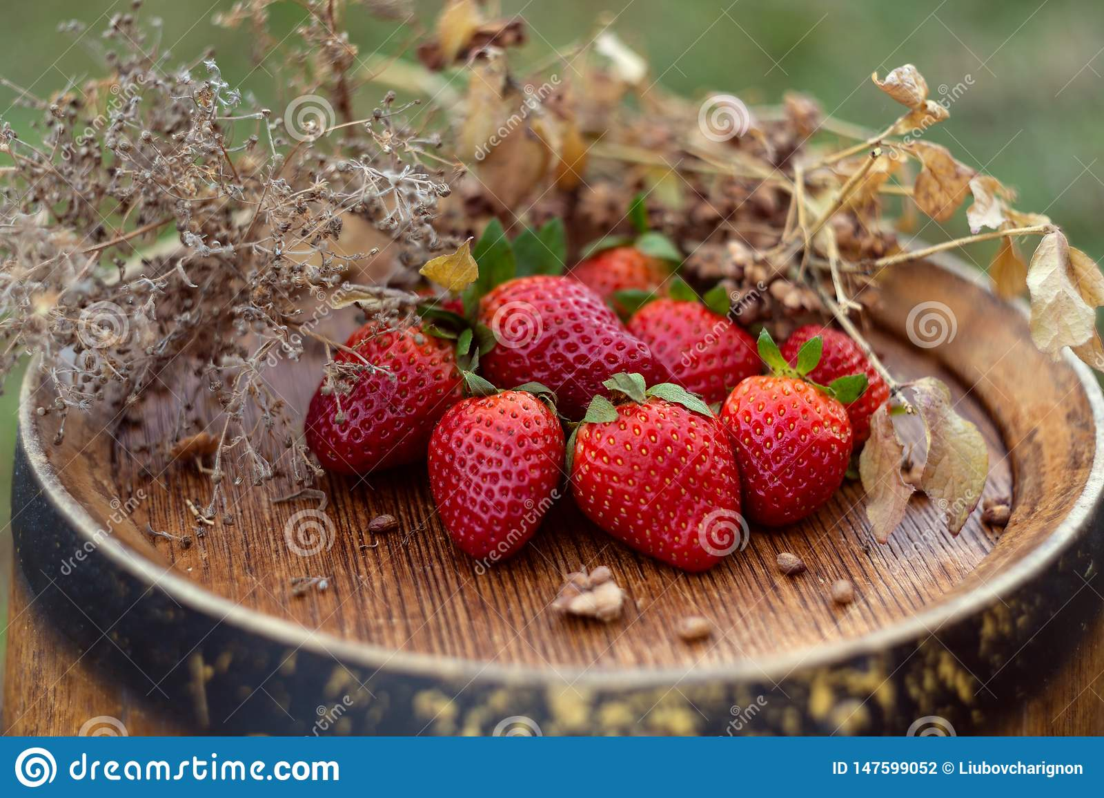 Κόκκινες φράουλες και ξηρά χλόη σε ένα βαρέλι κρασιού στον κήπο στην άνοιξη r