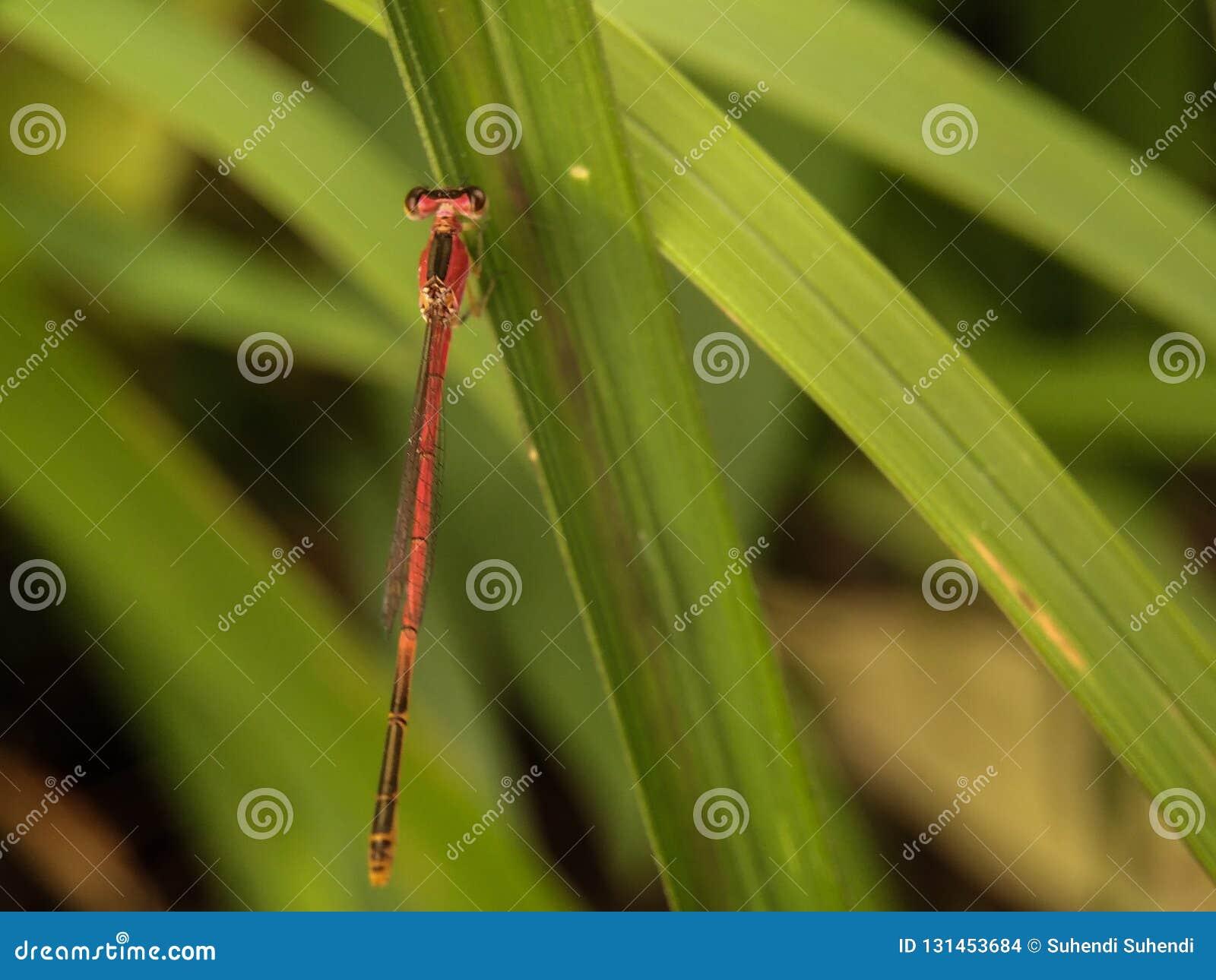 Κόκκινη μικρή λιβελλούλη στην πράσινη χλόη