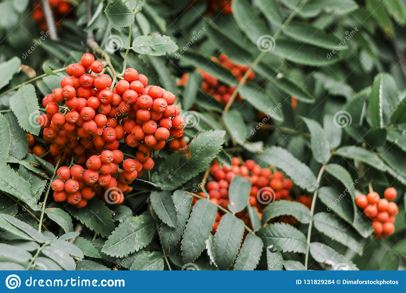 Κόκκινη σορβιά στα πράσινα φύλλα