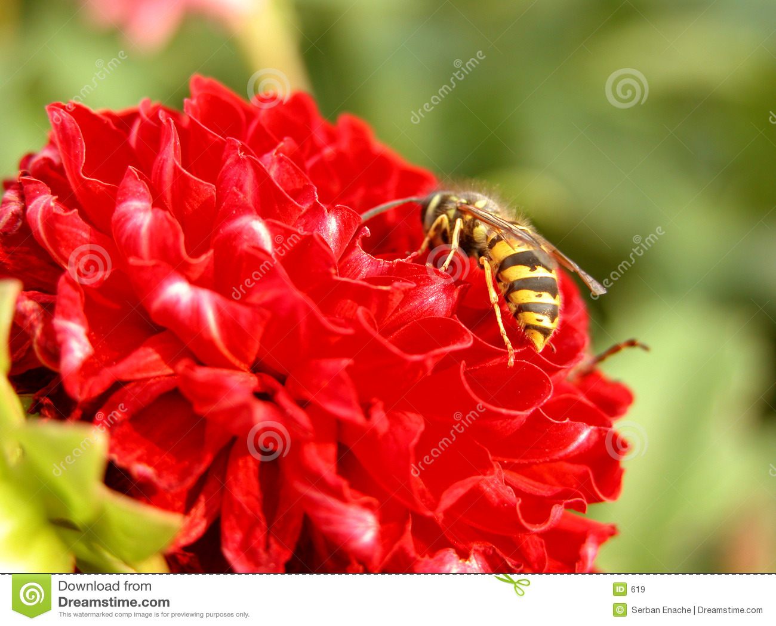 κόκκινη σφήκα λουλουδ&iota