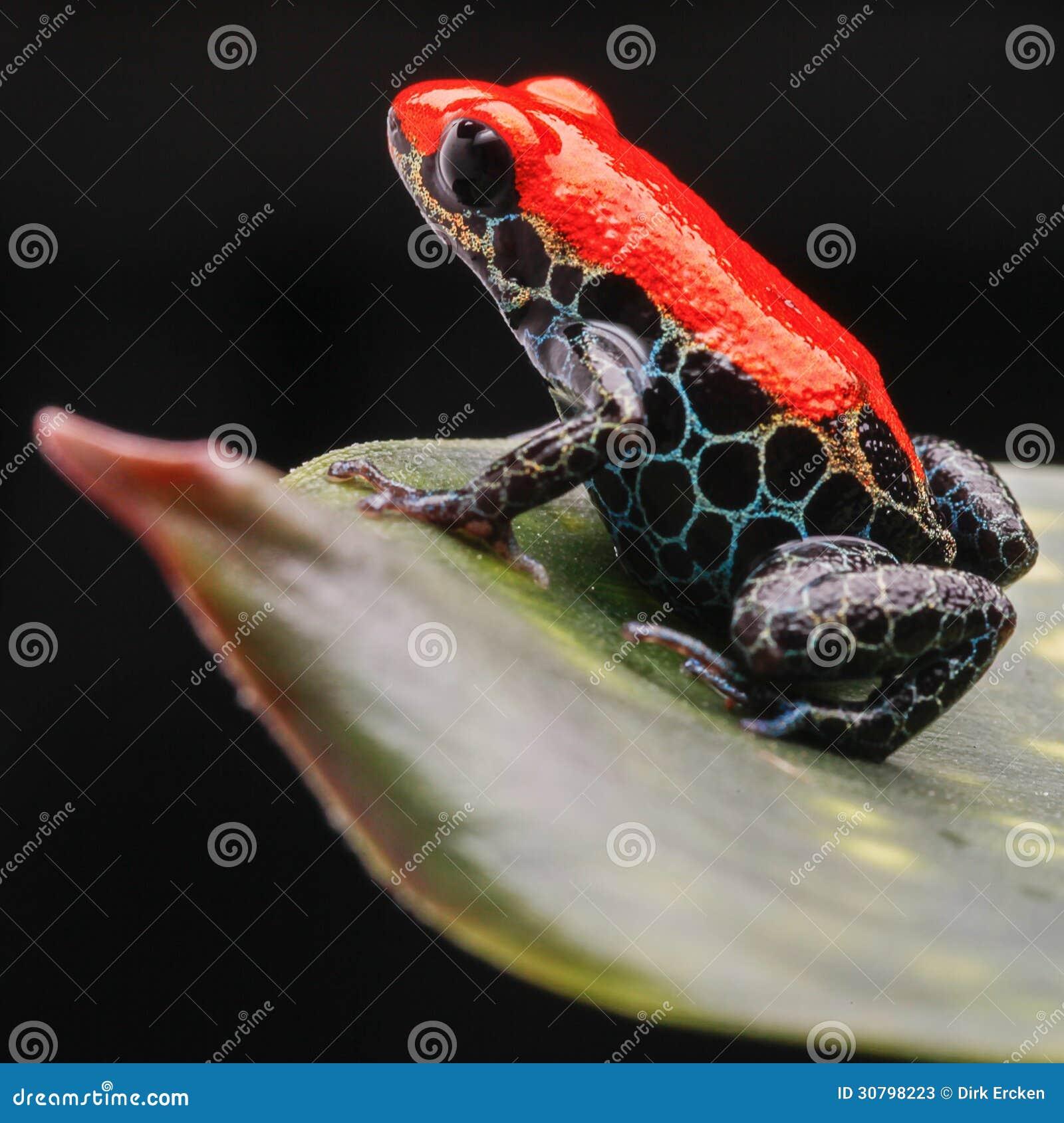 Κόκκινη τροπική ζούγκλα του Περού βατράχων δηλητήριων