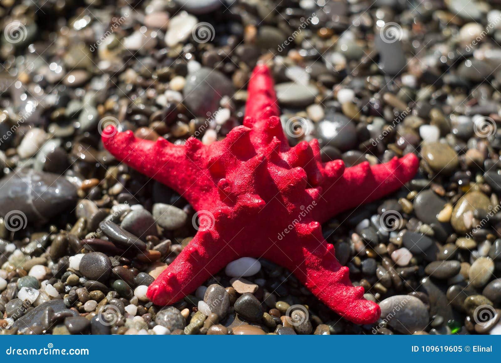Κόκκινος αστερίας στο αμμοχάλικο, ακτή Θαλάσσια ζωή