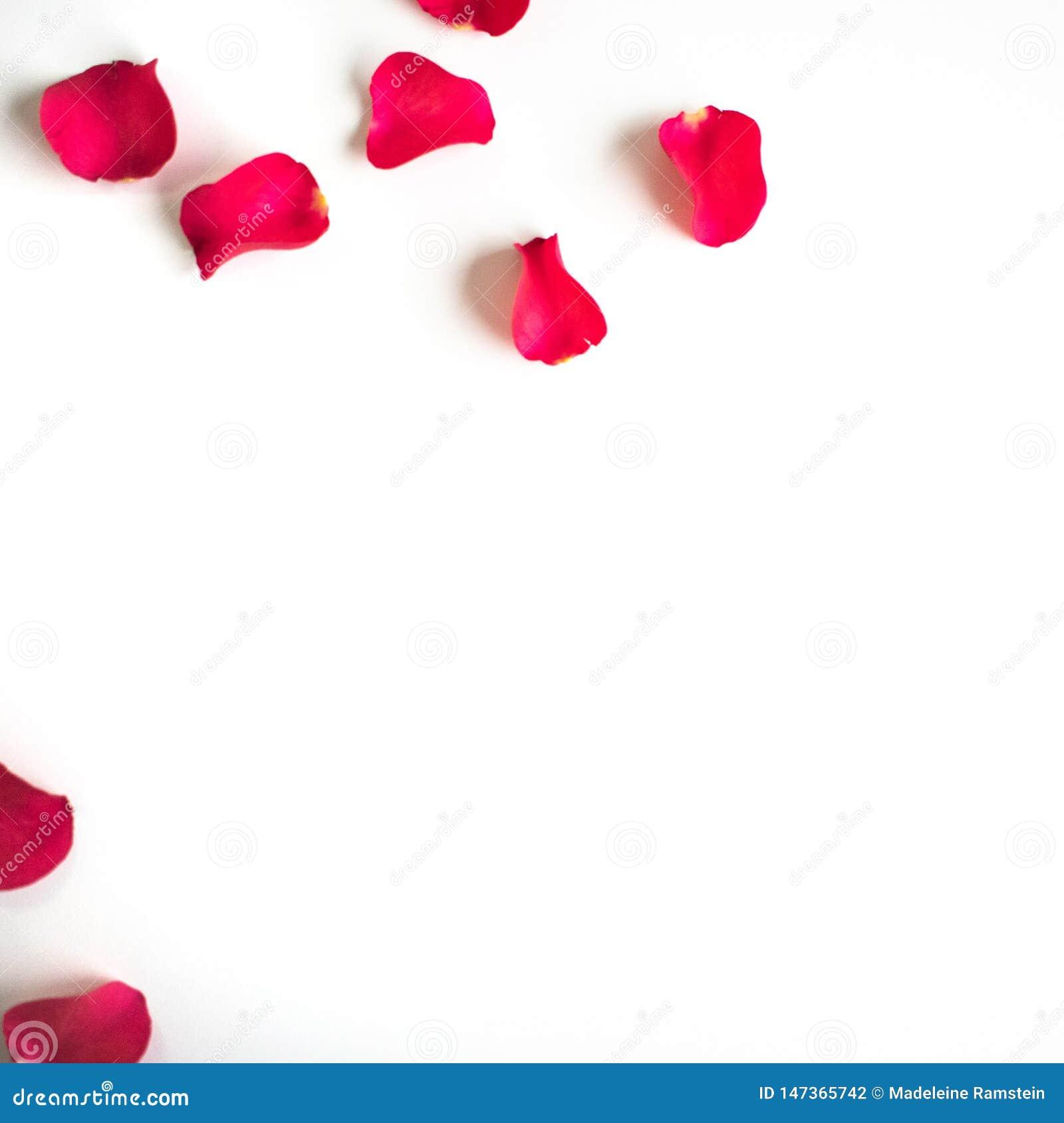 Κόκκινος αυξήθηκε πέταλα σε έναν άσπρους πίνακα/ένα υπόβαθρο