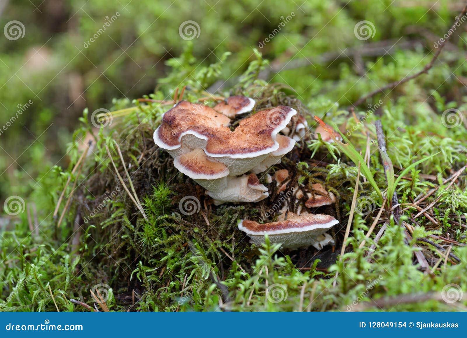 Κόκκινος-ζωσμένο pinicola Fomitopsis μυκήτων υποστηριγμάτων στο δάσος, μανιτάρι λειχήνων, υπόβαθρο φύσης