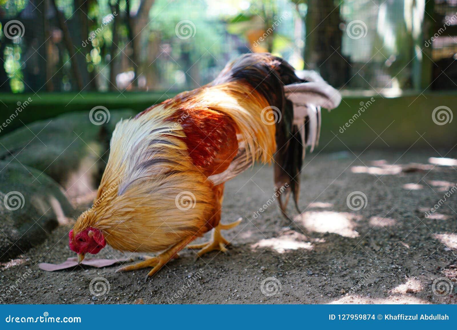 Κόκκινος κόκκορας στο ζωολογικό κήπο