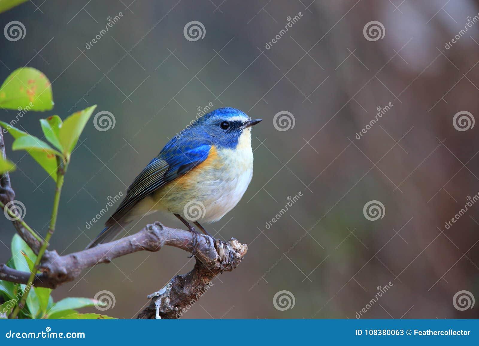 Κόκκινος-πλαισιωμένος bluetail ή πορτοκαλής-πλαισιωμένος θάμνος Robin