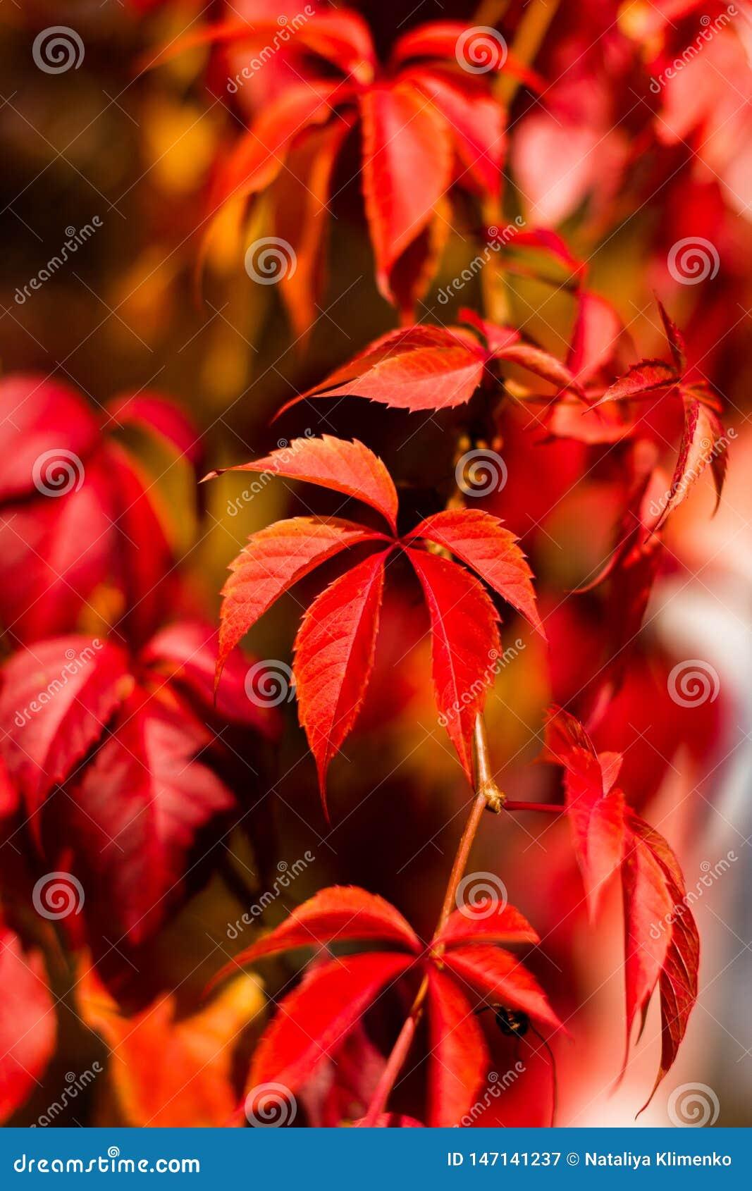 Κόκκινος-πορτοκαλιά φύλλα των άγριων σταφυλιών μια θερμή ημέρα φθινοπώρου
