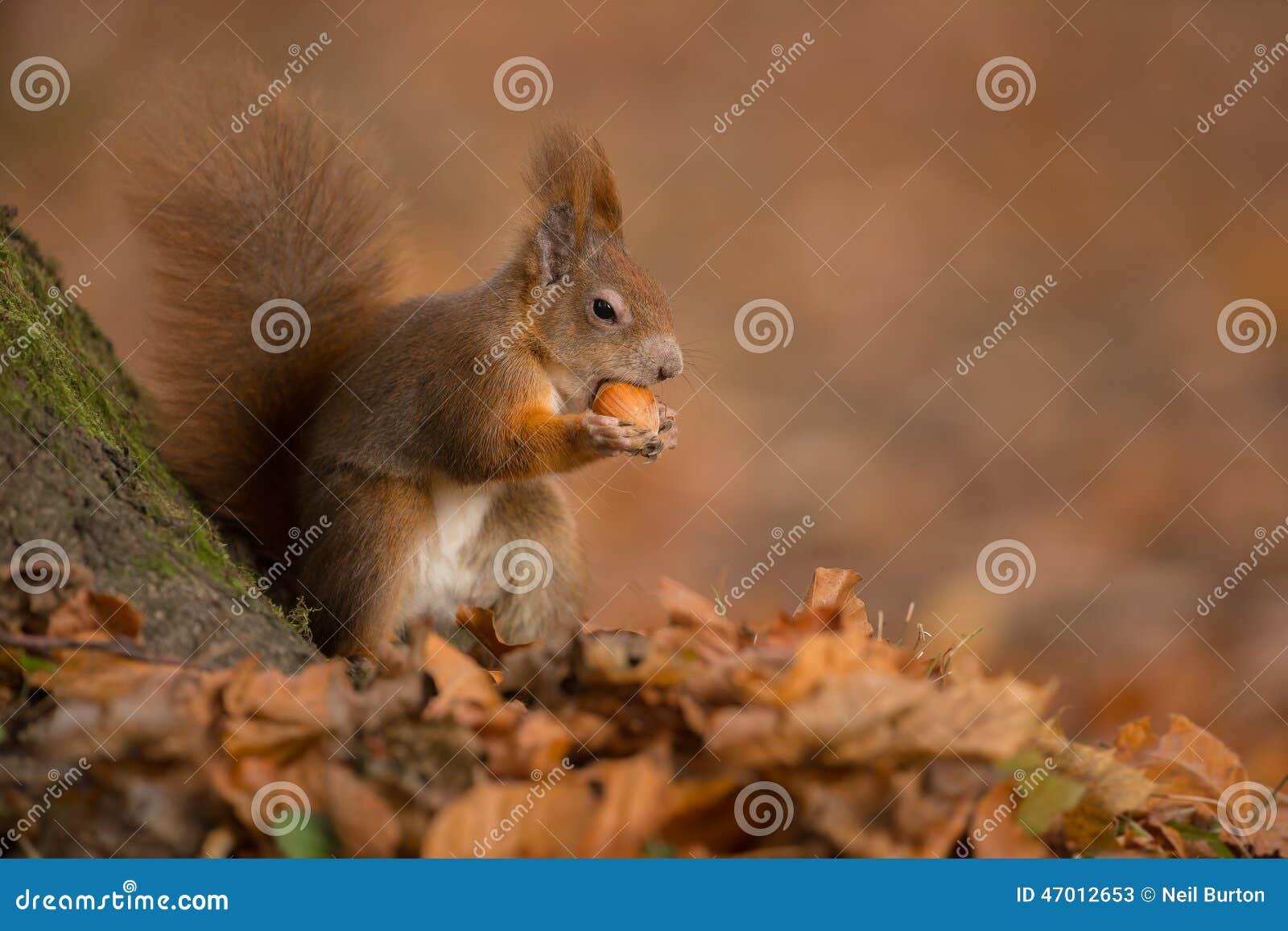 Κόκκινος σκίουρος φθινοπώρου