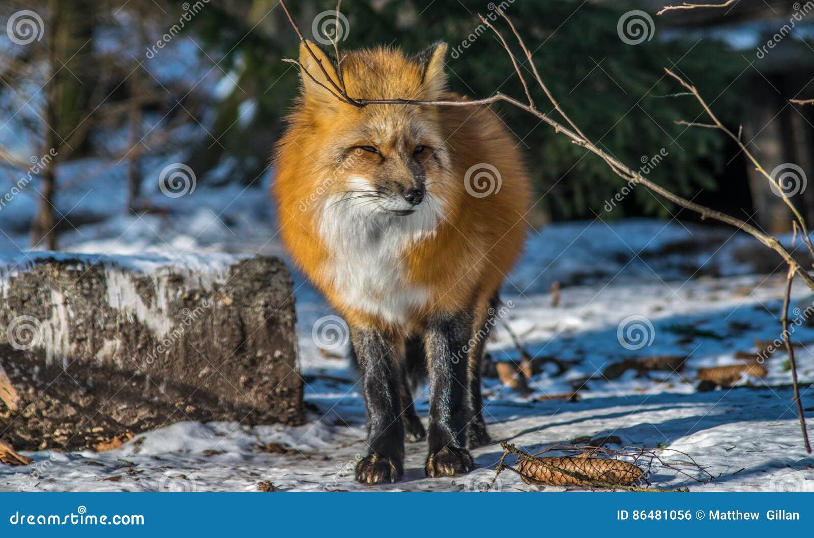 κόκκινος χειμώνας αλεπούδων