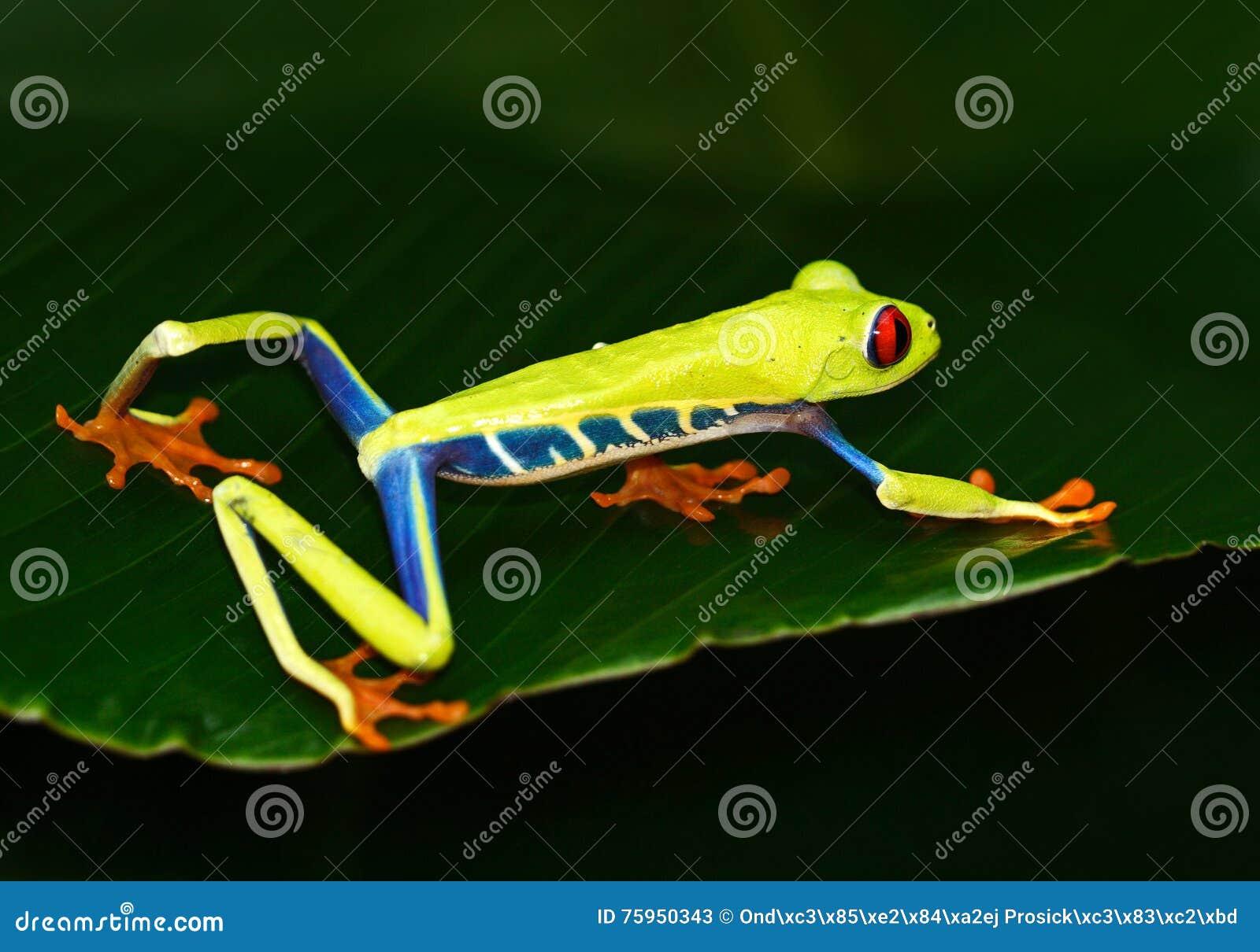 Κόκκινος-eyed βάτραχος δέντρων, callidryas Agalychnis, ζώο με τα μεγάλα κόκκινα μάτια, στο βιότοπο φύσης, Κόστα Ρίκα Όμορφο εξωτι