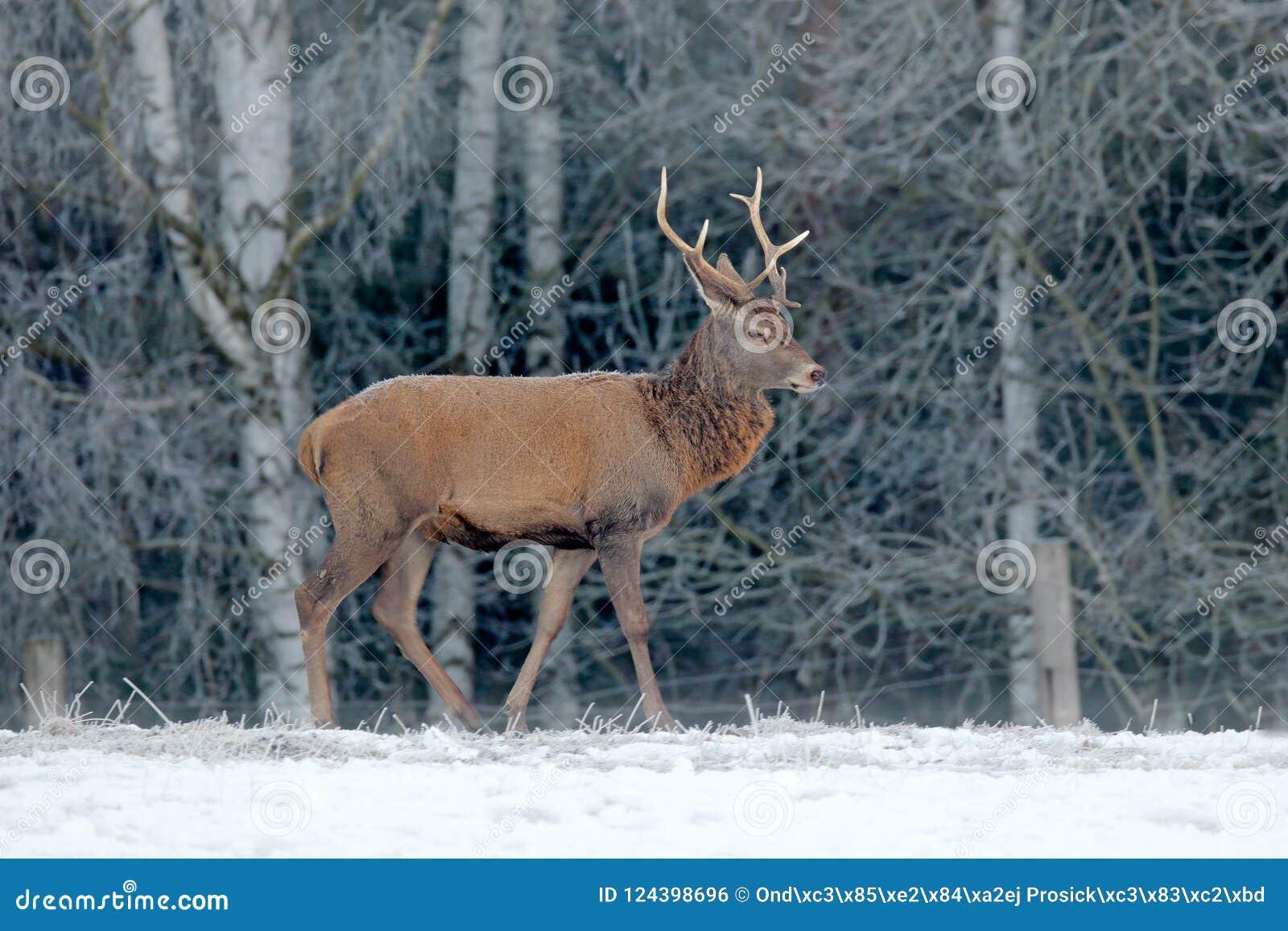 Κόκκινο αρσενικό ελάφι ελαφιών, μεγαλοπρεπές ισχυρό ενήλικο ζώο με τα ελαφόκερες έξω από το χειμερινό δάσος, τσεχικά Άγρια φύση α