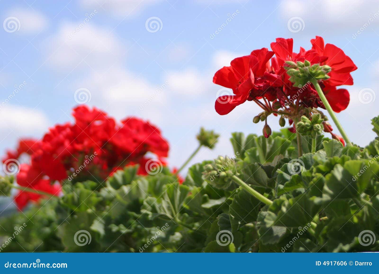 κόκκινο γερανιών λουλουδιών άνθισης