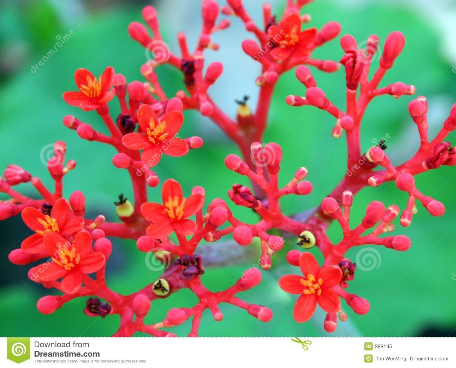 κόκκινο λουλουδιών άνθ&iota