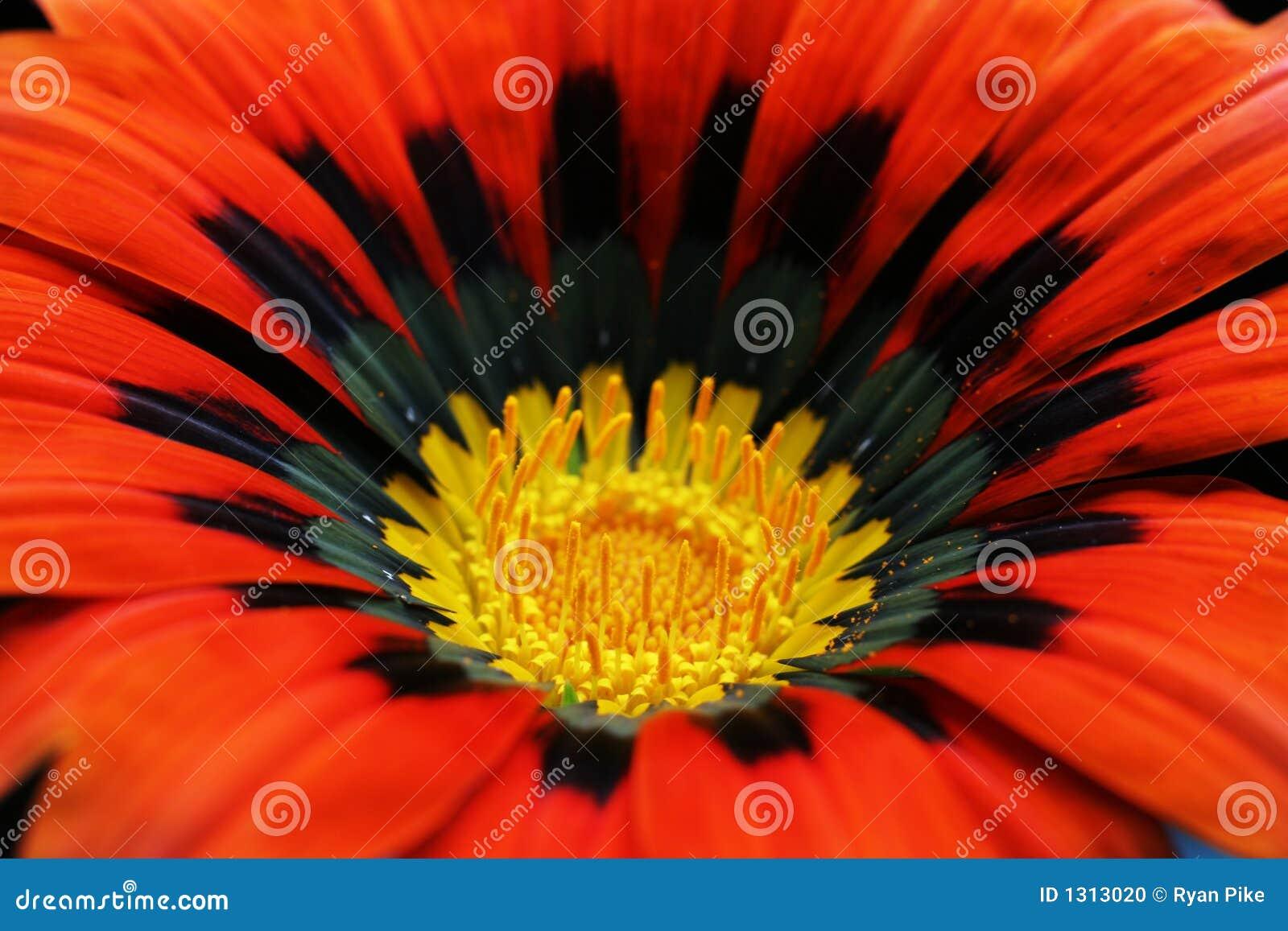 κόκκινο λουλουδιών κιν