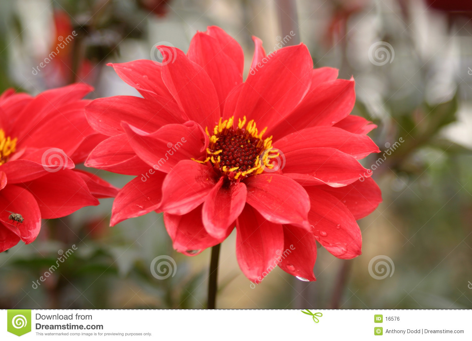 κόκκινο λουλουδιών