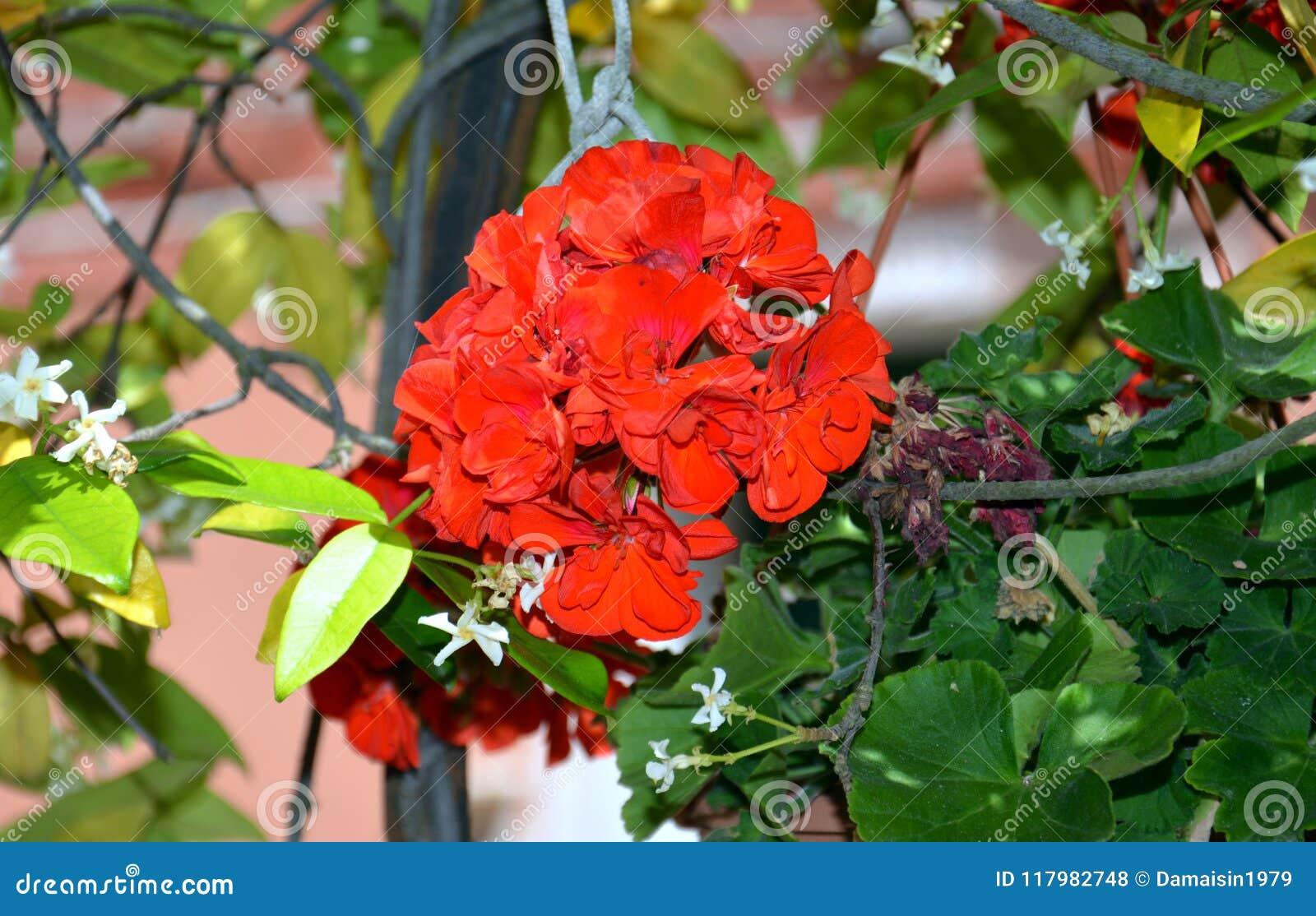 Κόκκινο λουλούδι στο δοχείο στη Βενετία, στην Ιταλία, Ευρώπη