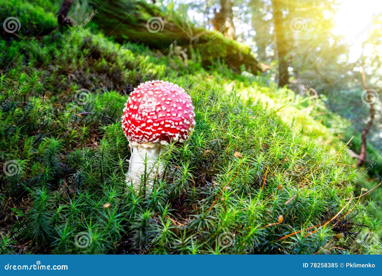 Κόκκινο μανιτάρι αγαρικών μυγών στο δάσος πρωινού