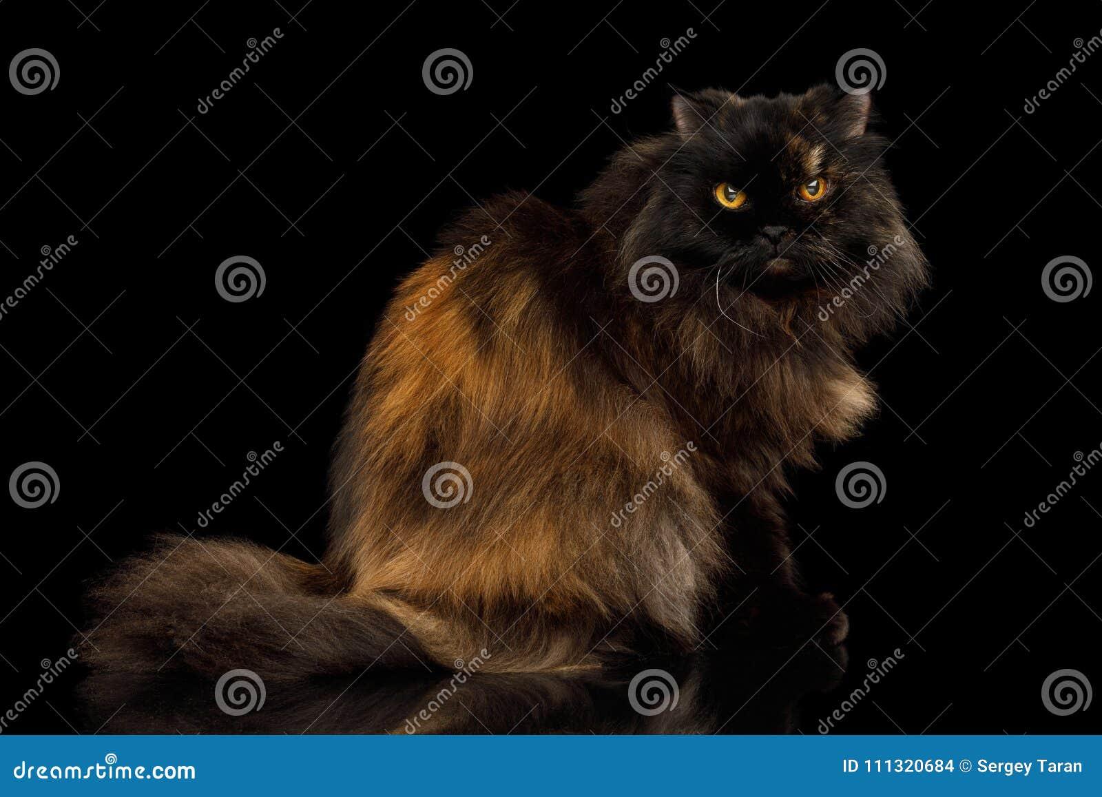 510ebeb27733 Κόκκινο με την καφετιά ενήλικη περσική γάτα στο μαύρο υπόβαθρο Στοκ ...
