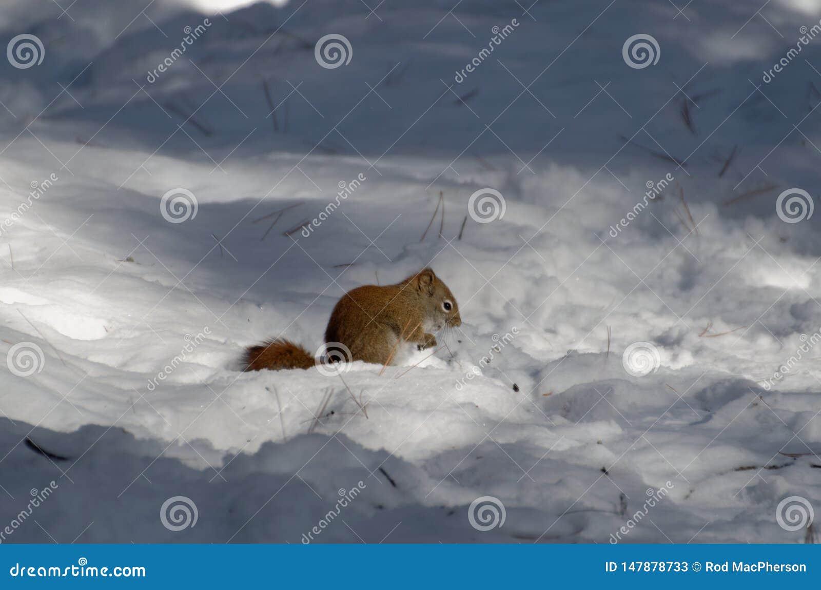 Κόκκινο να προμηθεύσει με ζωοτροφές σκιούρων το χειμώνα