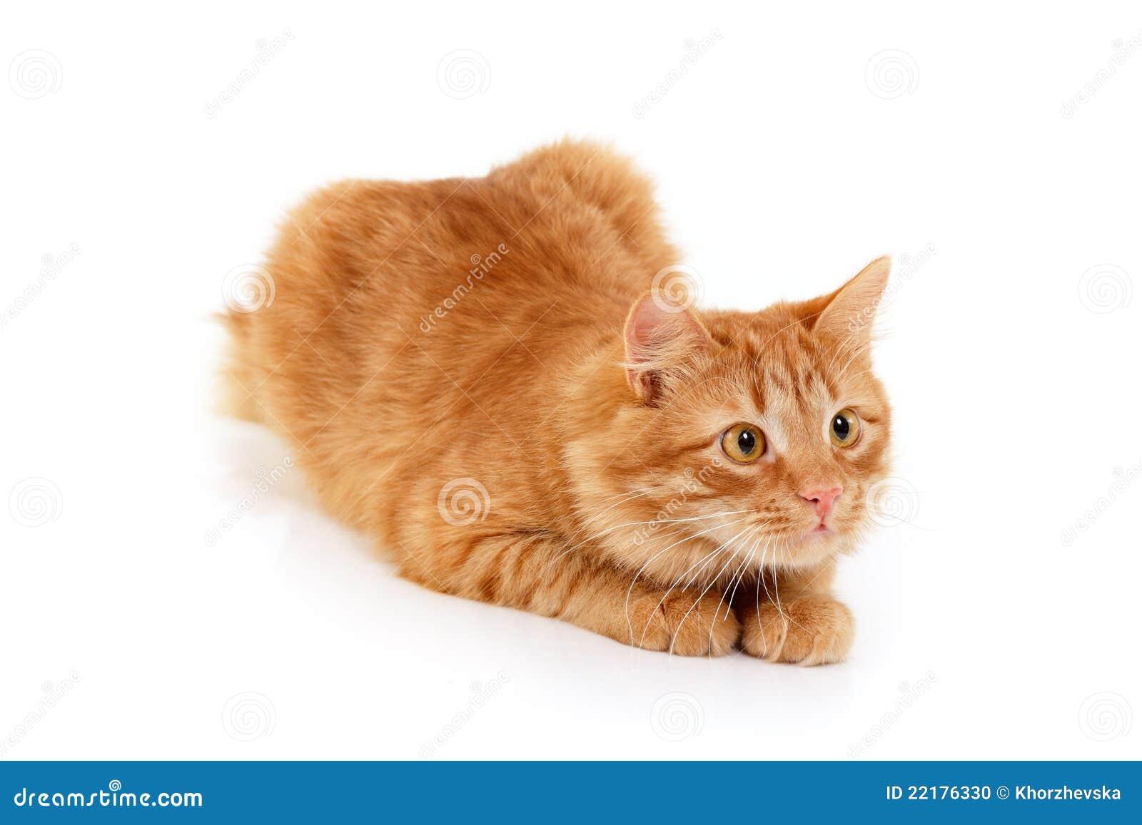 Κόκκινο ξάπλωμα προσοχής γατών