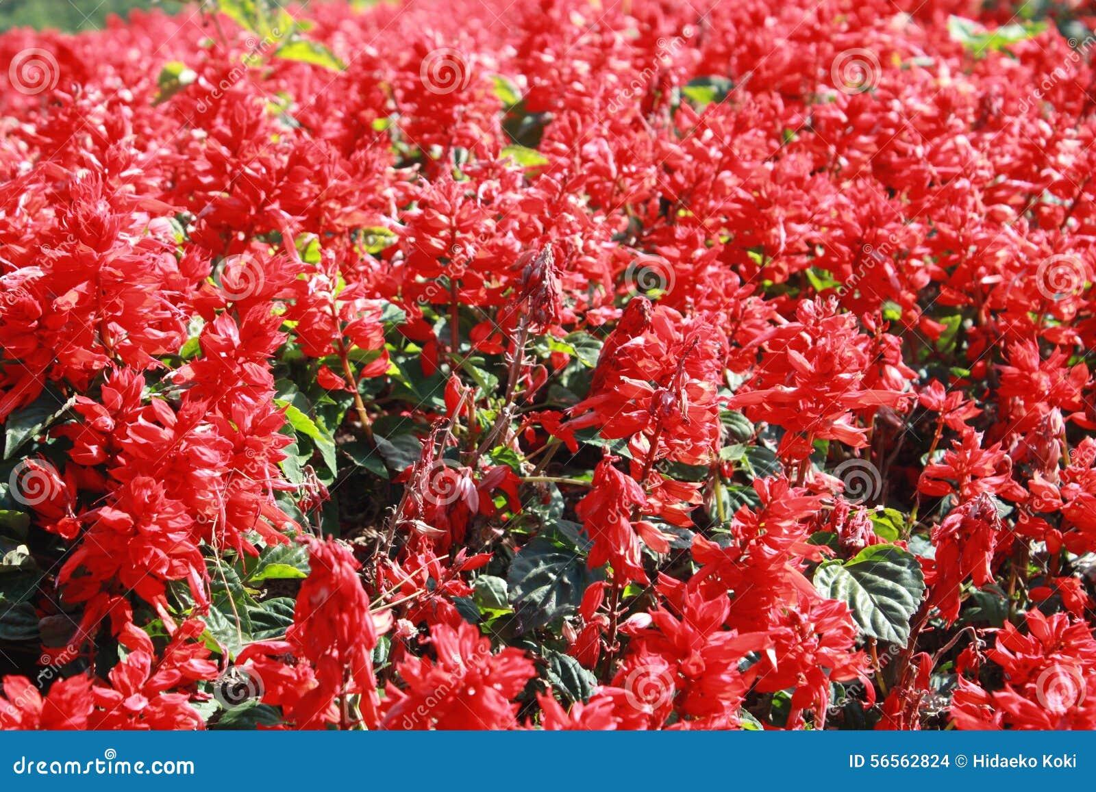 Download κόκκινο λουλουδιών στοκ εικόνες. εικόνα από σκηνή, άνθος - 56562824