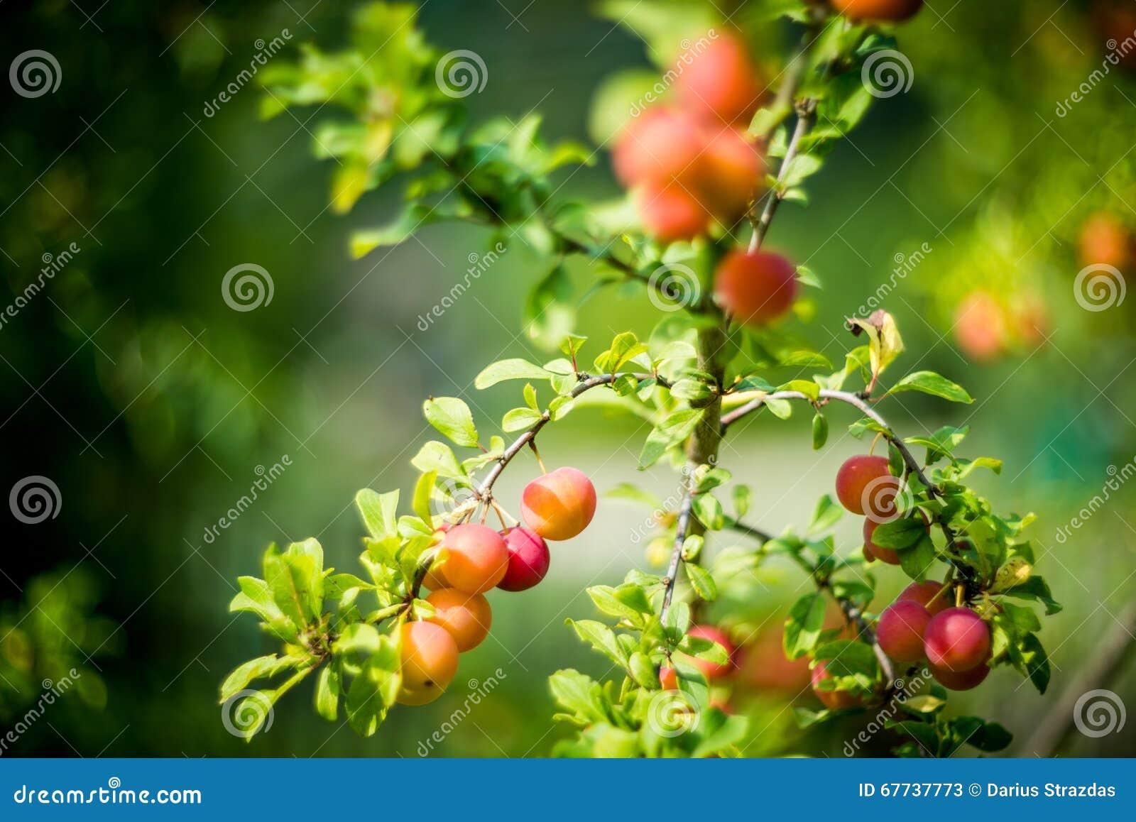 Κόκκινο πορτοκαλί δαμάσκηνο