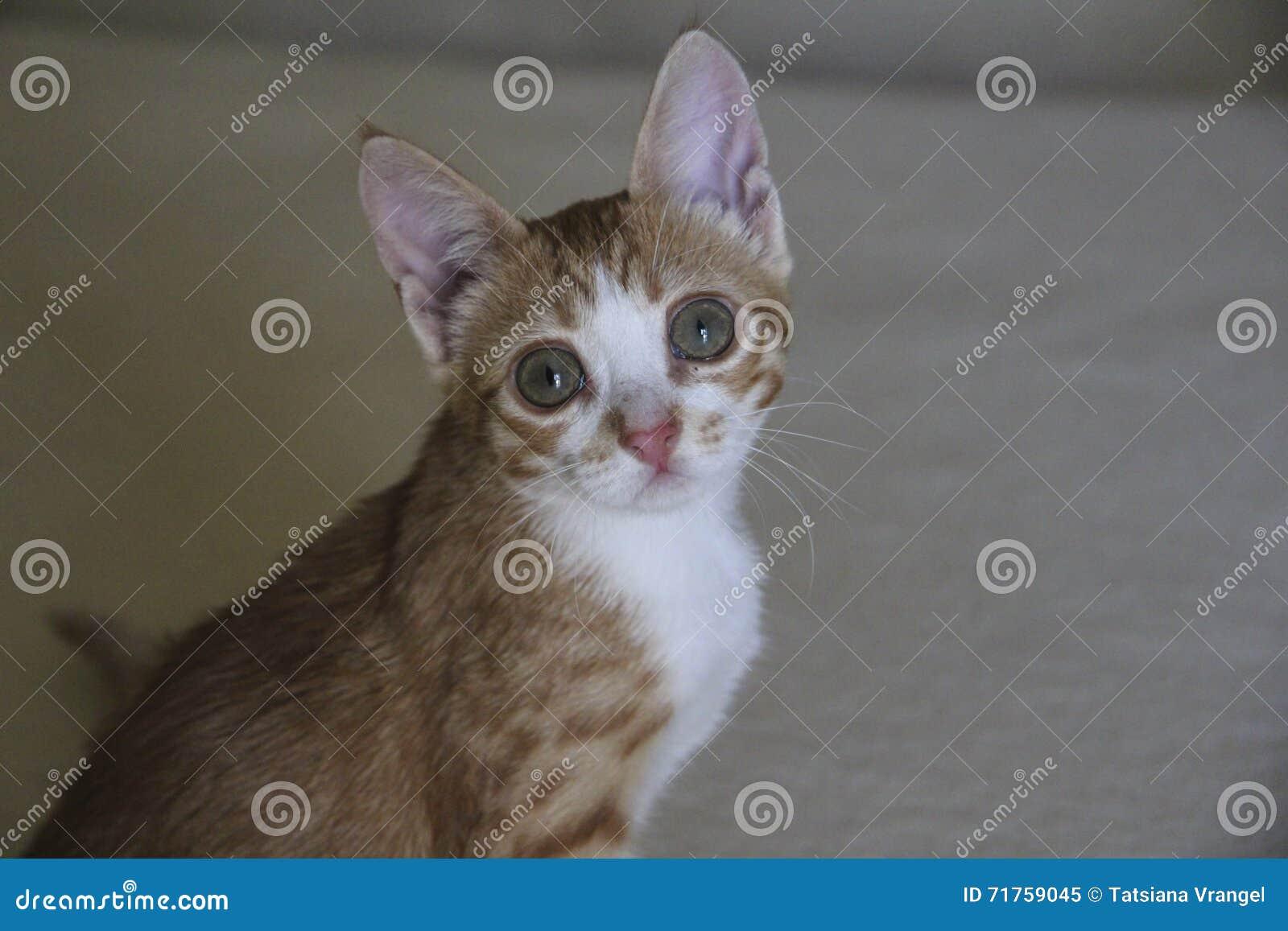 Κόκκινο ριγωτό γατάκι