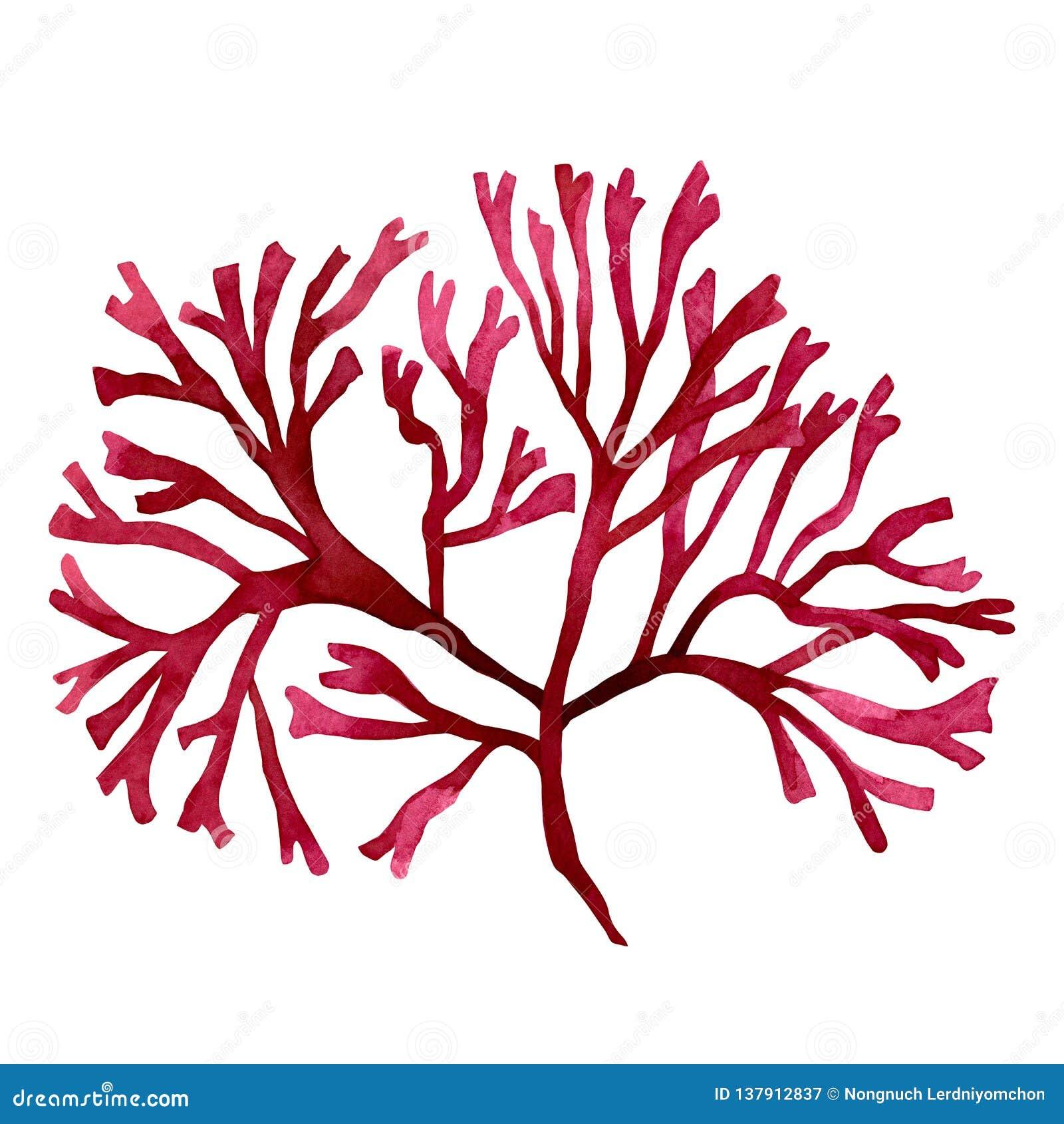 Κόκκινο φύκι, kelp στον ωκεανό, χρωματισμένο χέρι στοιχείο watercolor που απομονώνεται στο άσπρο υπόβαθρο Κόκκινη απεικόνιση δ φυ