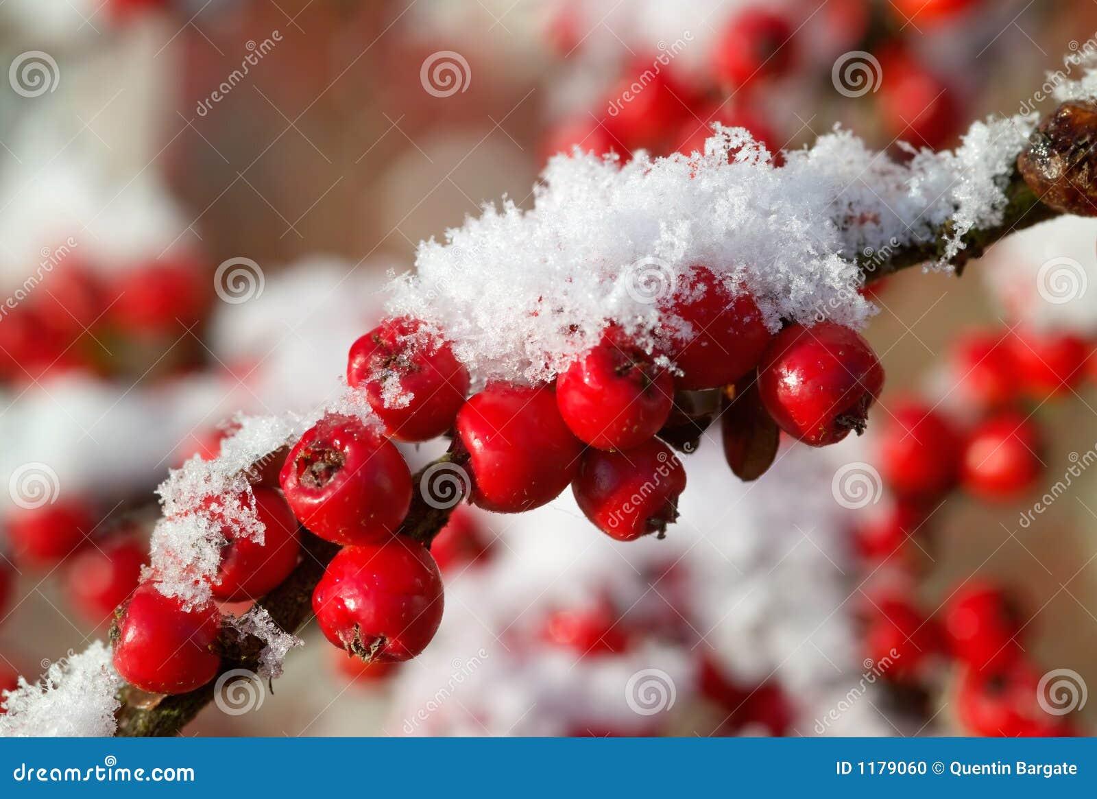 κόκκινο χιόνι μούρων cotoneaster