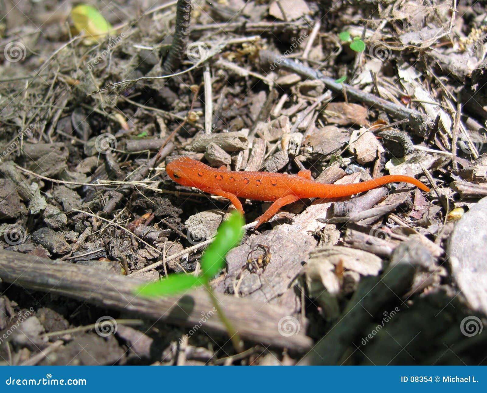 κόκκινο 2 newt που επισημαίνεται