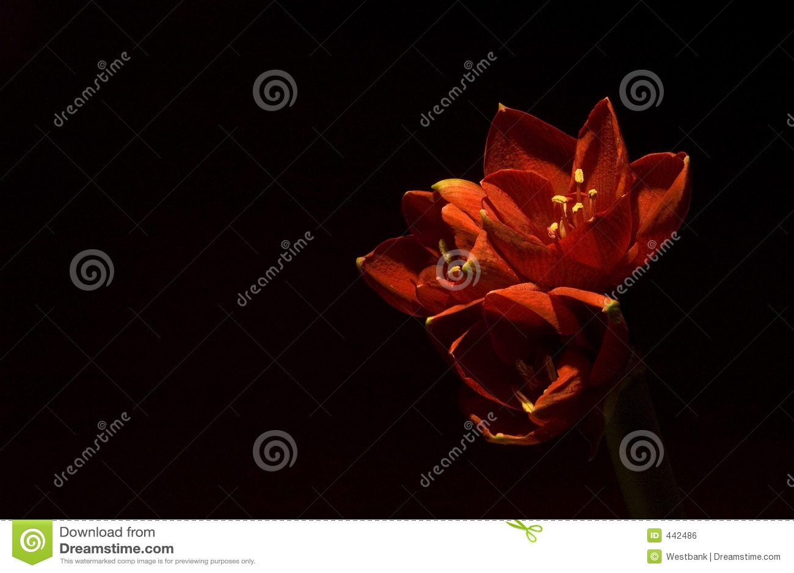 κόκκινο amaryllis