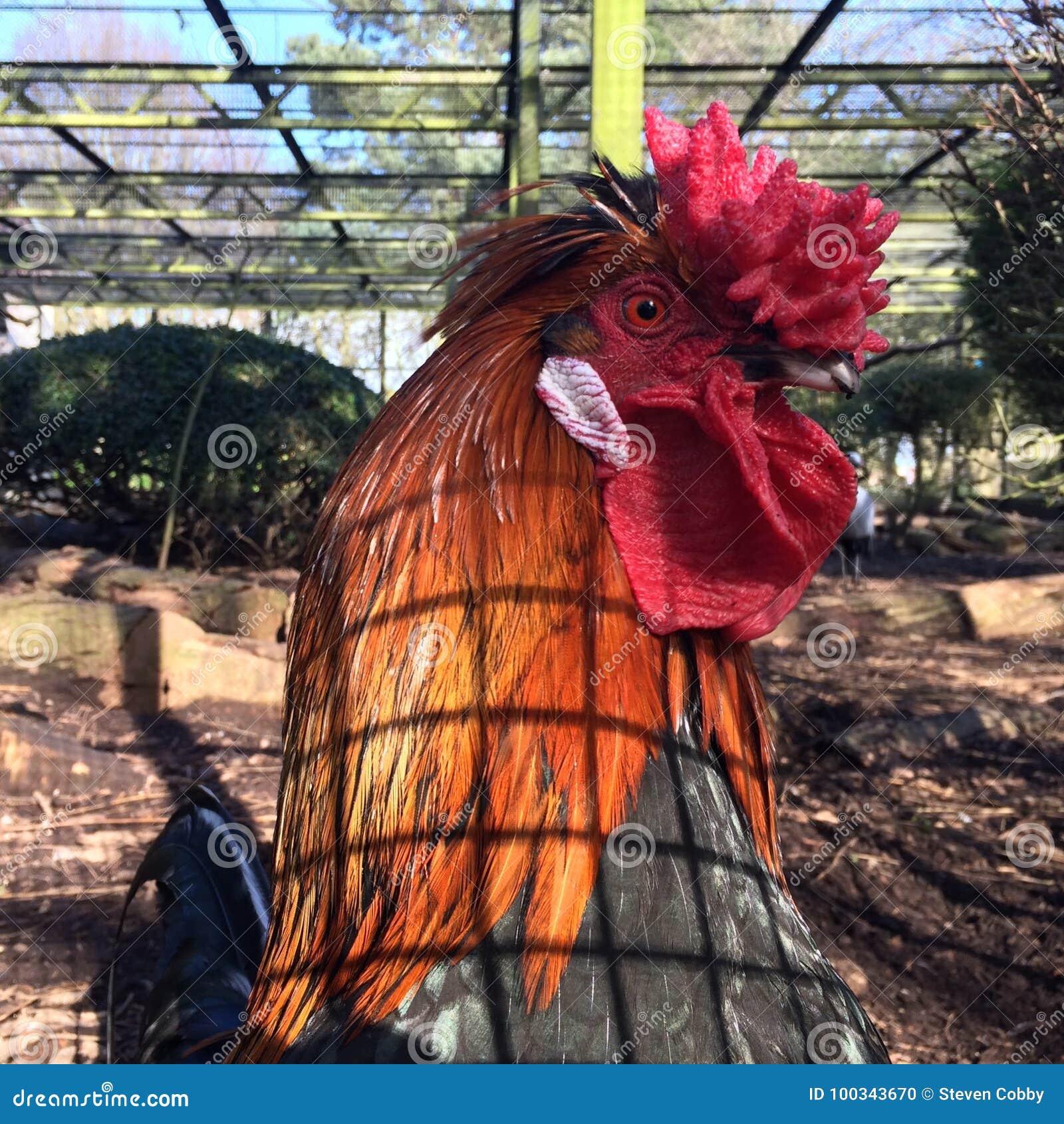 Κόκκινο Cockerel σε ένα κλουβί