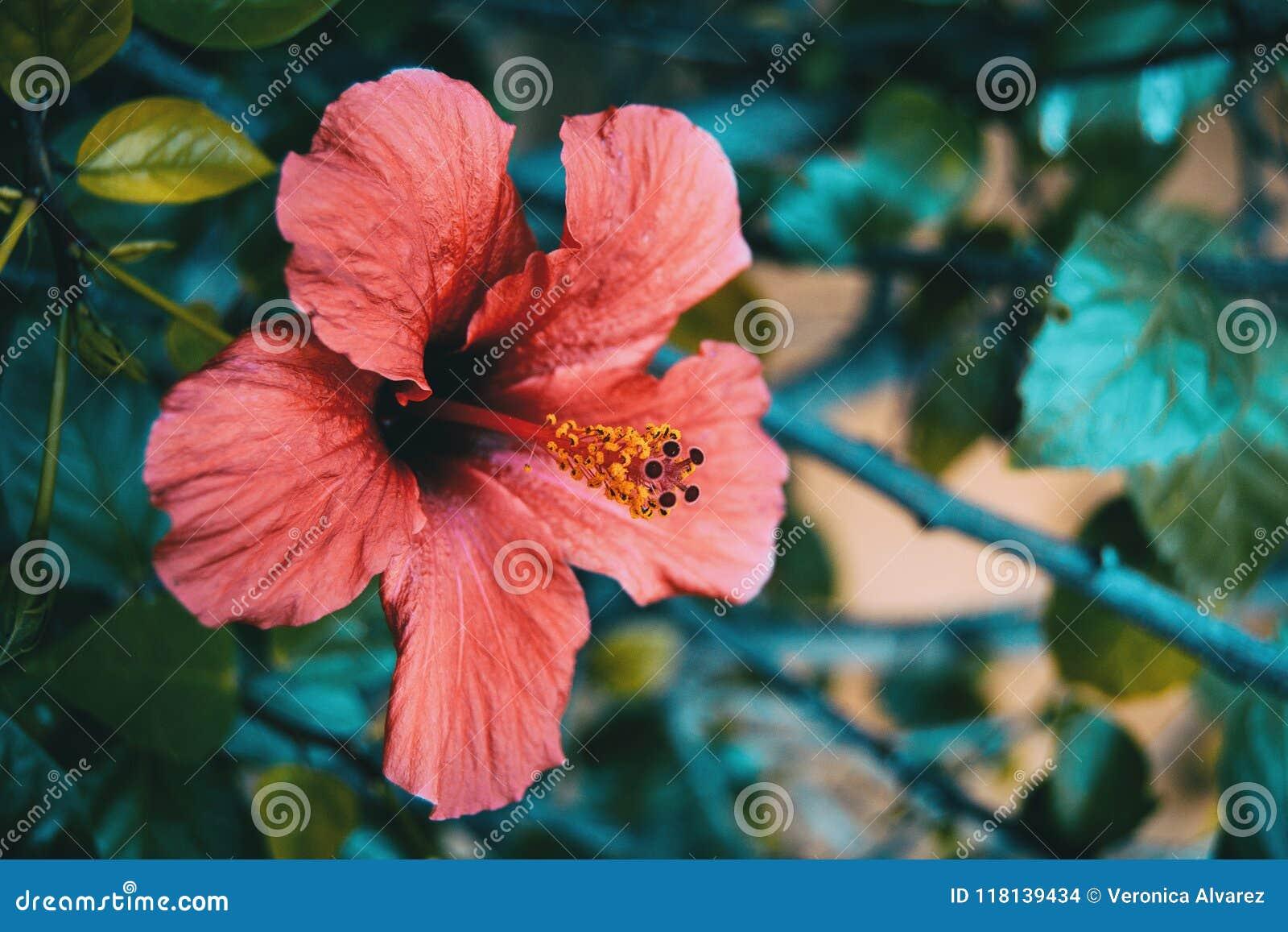 Κόκκινο hibiscus λουλούδι