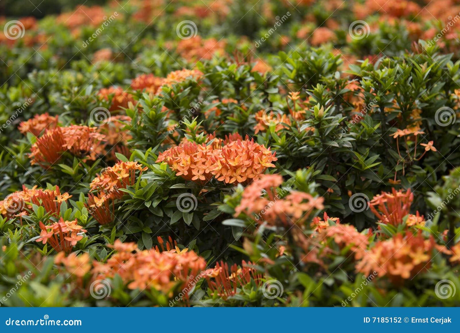 κόκκινο ixora λουλουδιών