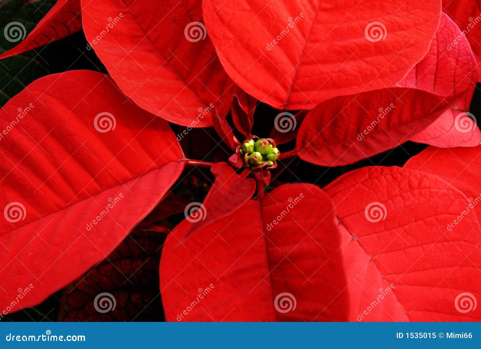 κόκκινο poinsettia