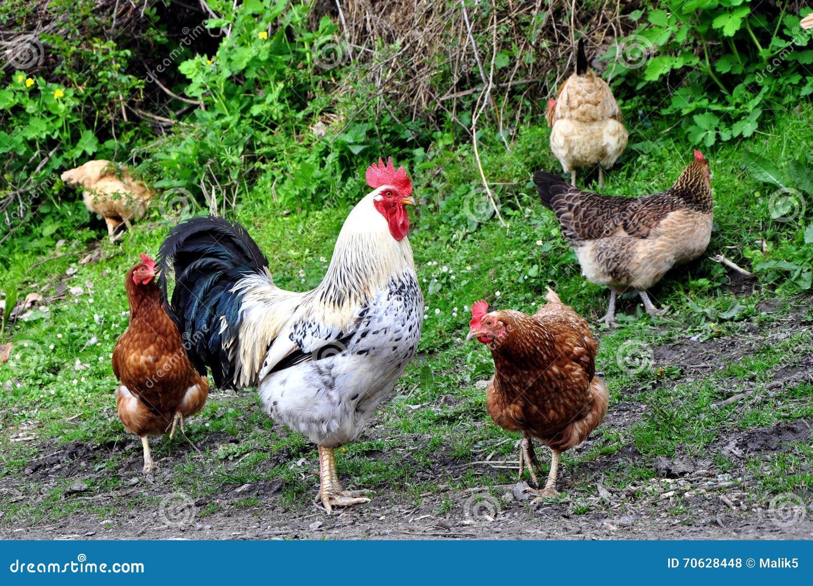 κόκκορας κοτόπουλων