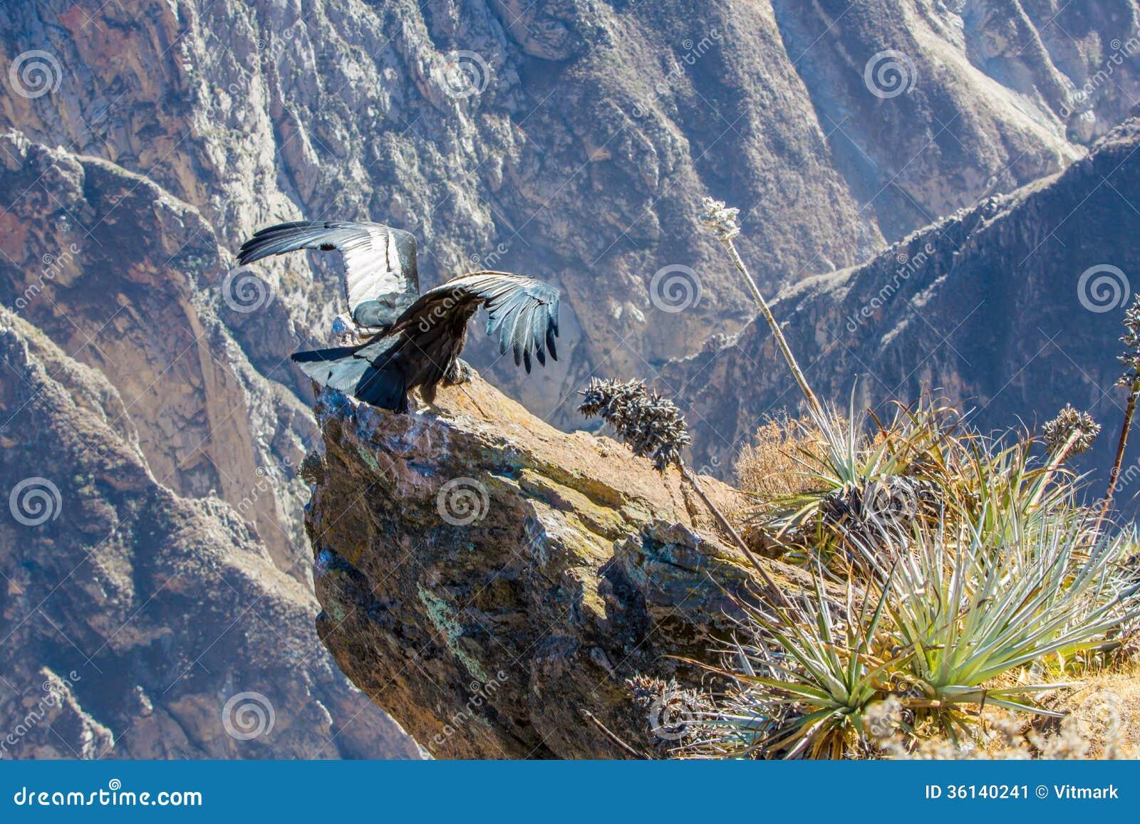 Κόνδορας στη συνεδρίαση φαραγγιών Colca, Περού, Νότια Αμερική. Αυτό είναι ένας κόνδορας το μεγαλύτερο πετώντας πουλί