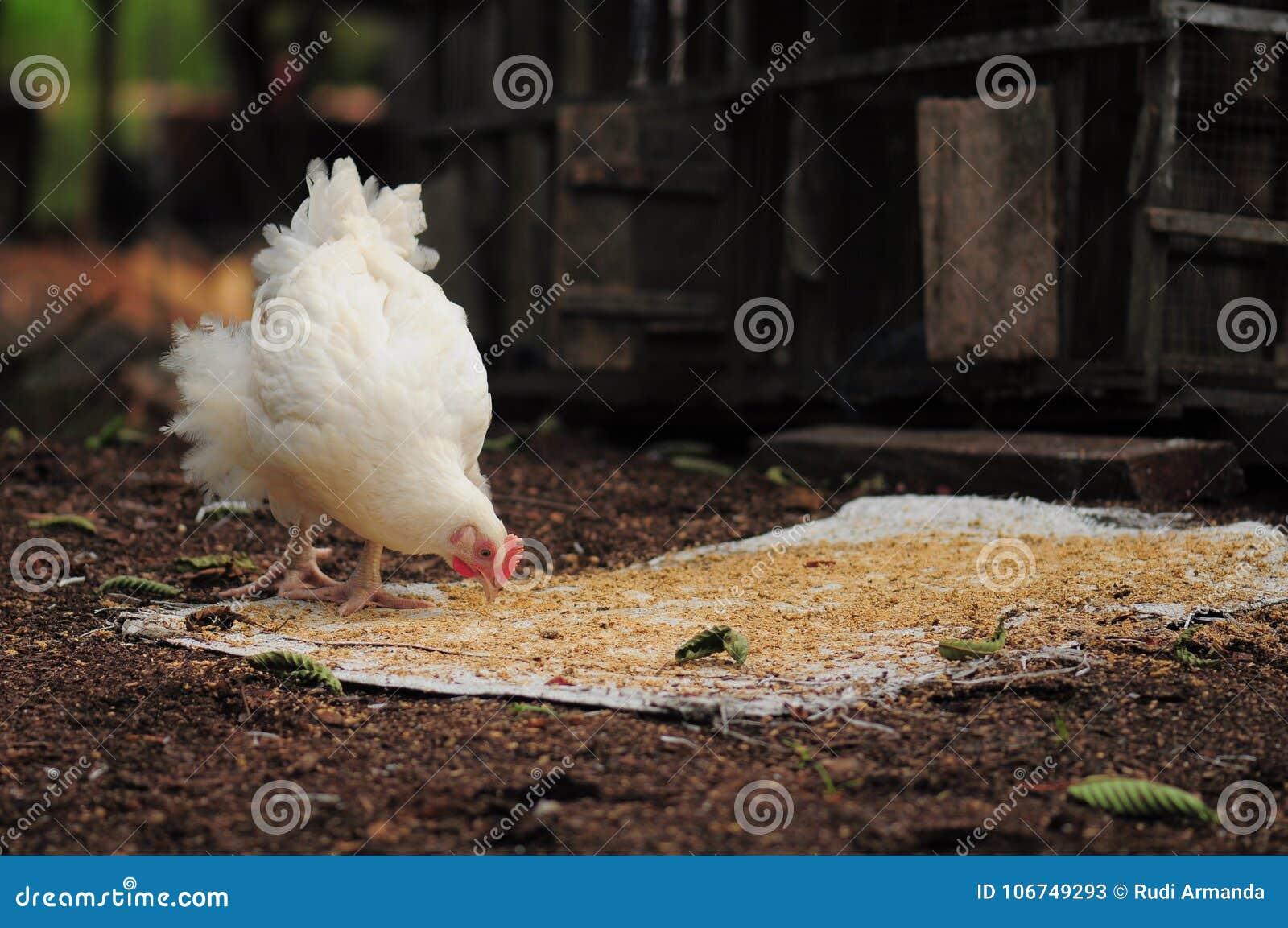 Κότα και το brunch του
