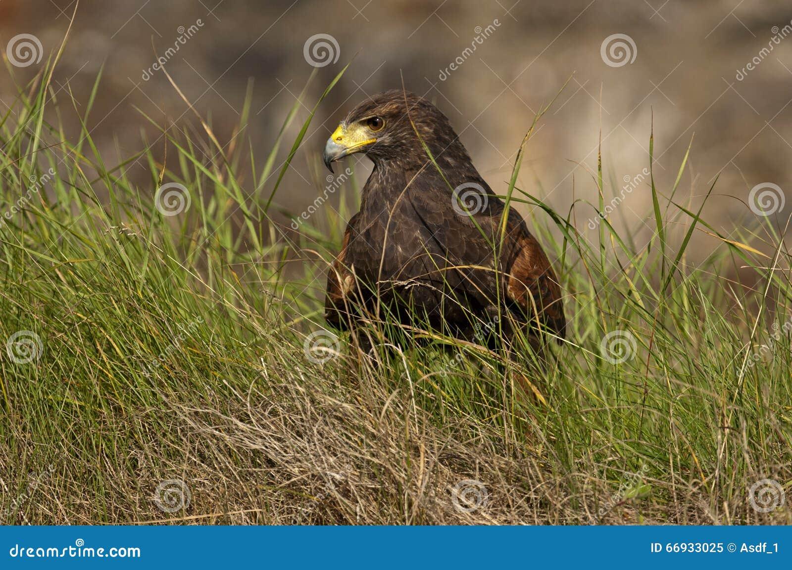 Κόλπος-φτερωτό γεράκι
