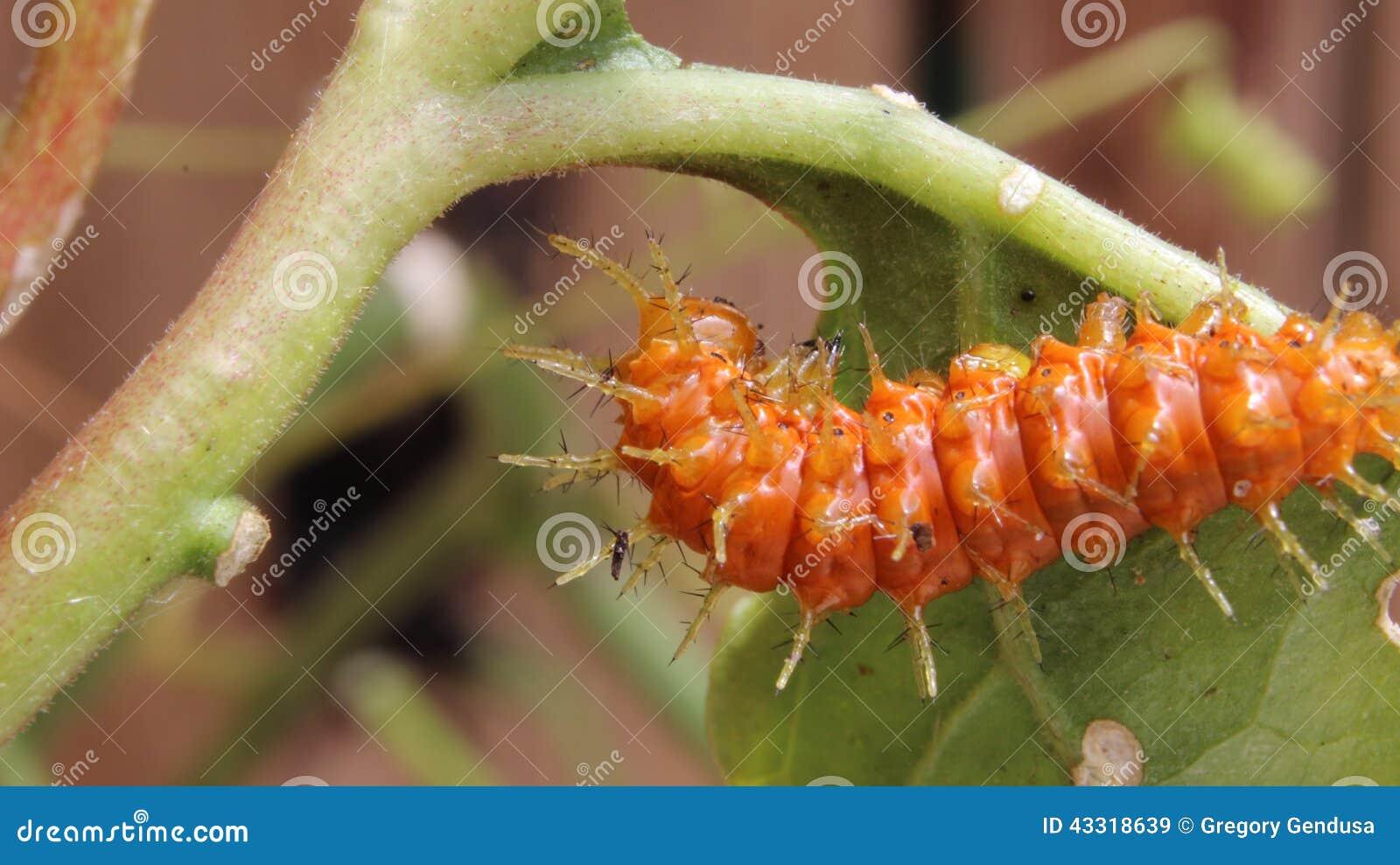 Κόλπος fritillary ή κάμπια πεταλούδων πάθους (vanillae Agraulis)