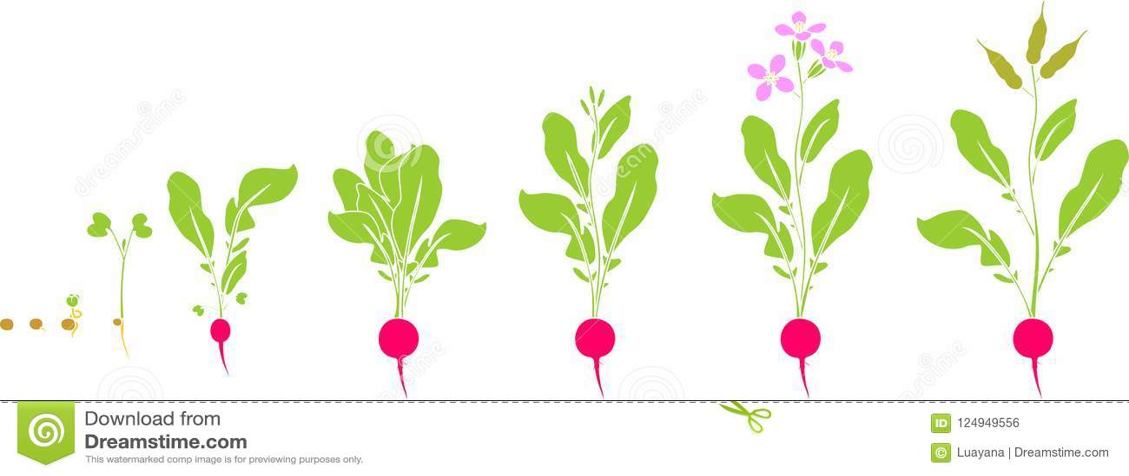 Κύκλος ζωής ραδικιών Διαδοχικά στάδια της αύξησης από το σπόρο στο άνθισμα και το fruit-bearing φυτό