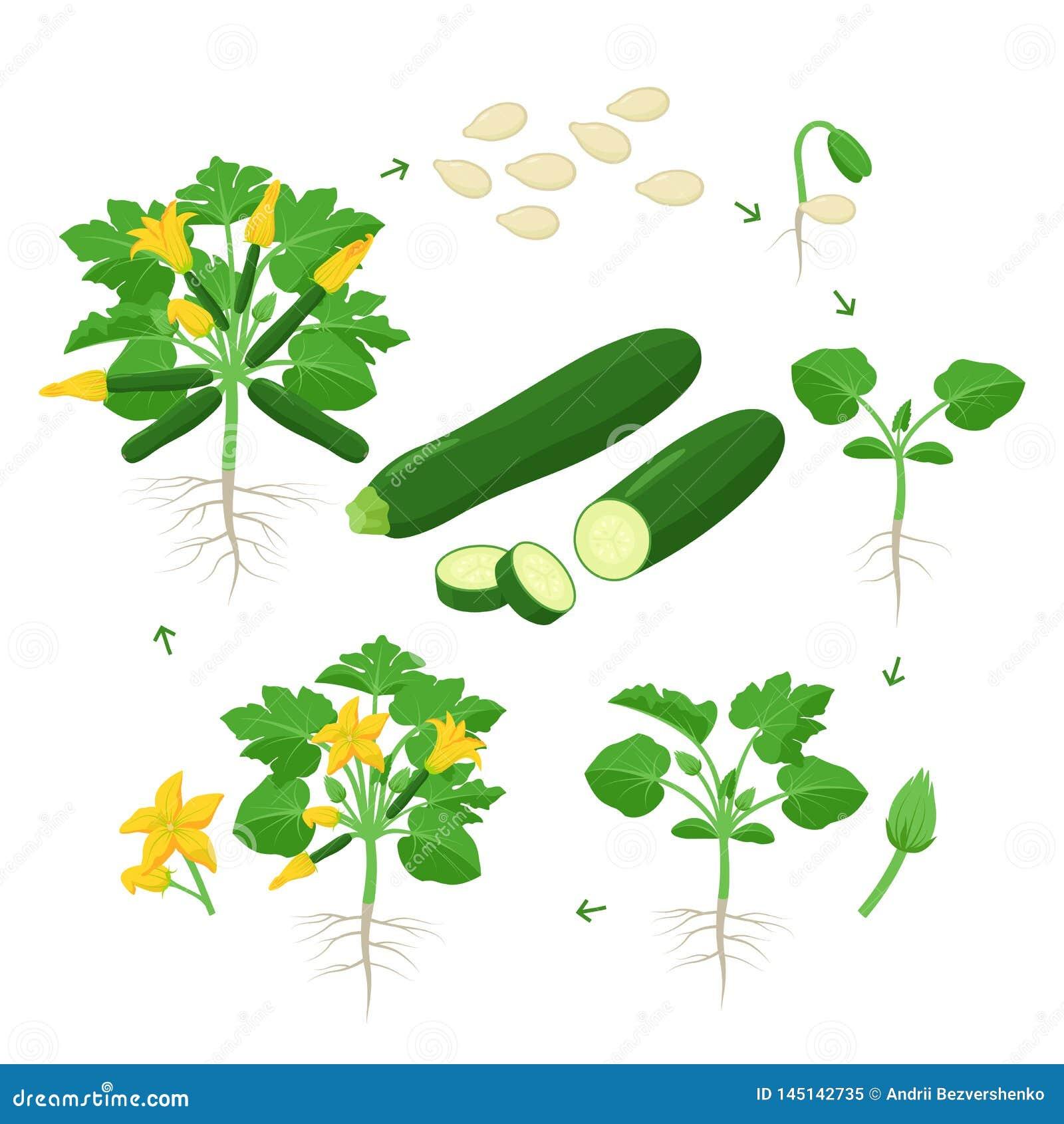 Αύξηση φυτών κολοκυθιών από το σπόρο, το νεαρό βλαστό, το άνθισμα και το ώριμο φυτό με τα ώριμα φρούτα Κύκλος ζωής του διανύσματο