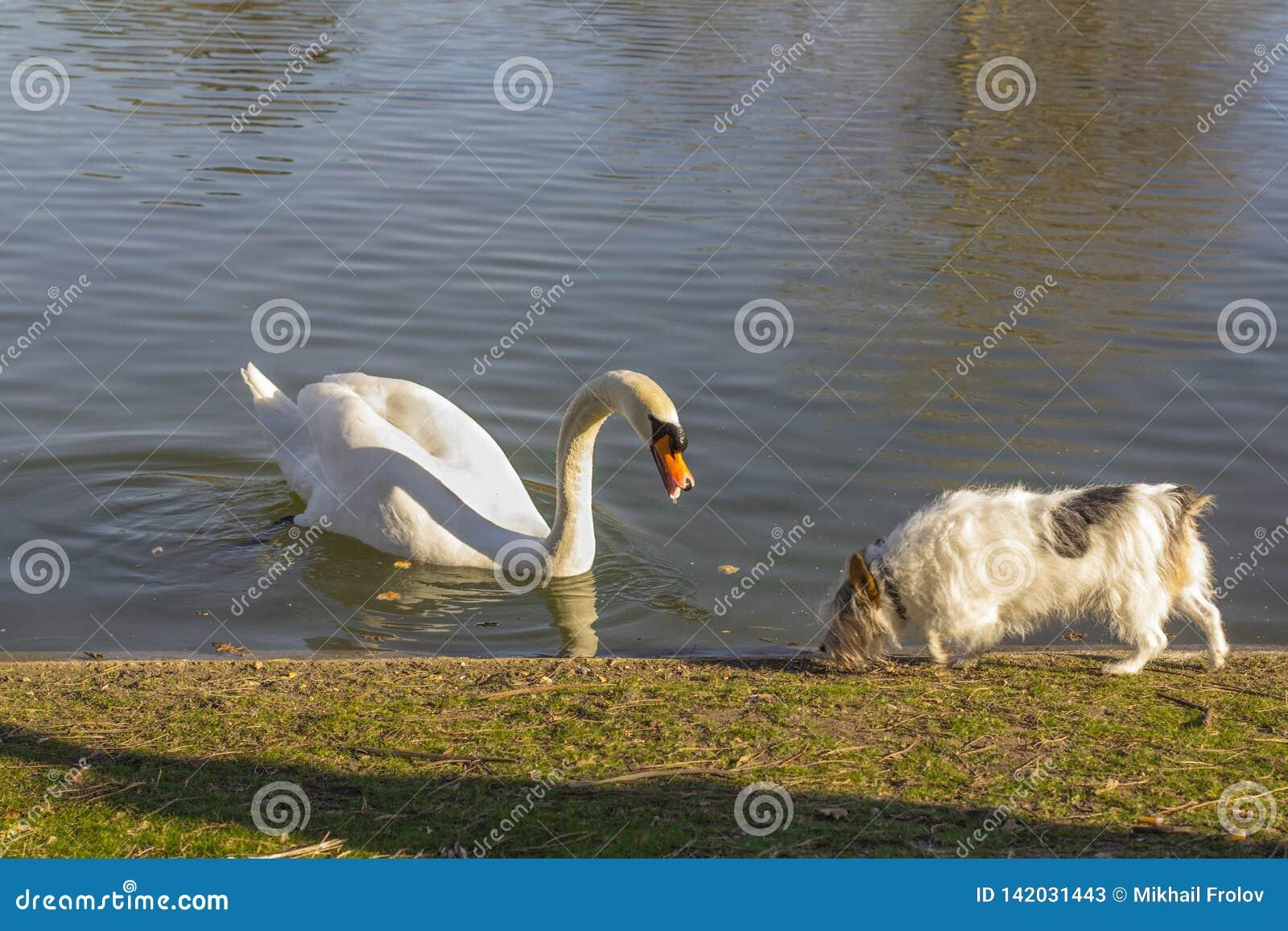 Κύκνος και σκυλί Κύκνος στη λίμνη και το σκυλί στην ακτή Κύκνος και σκυλί που εξοικειώνονται