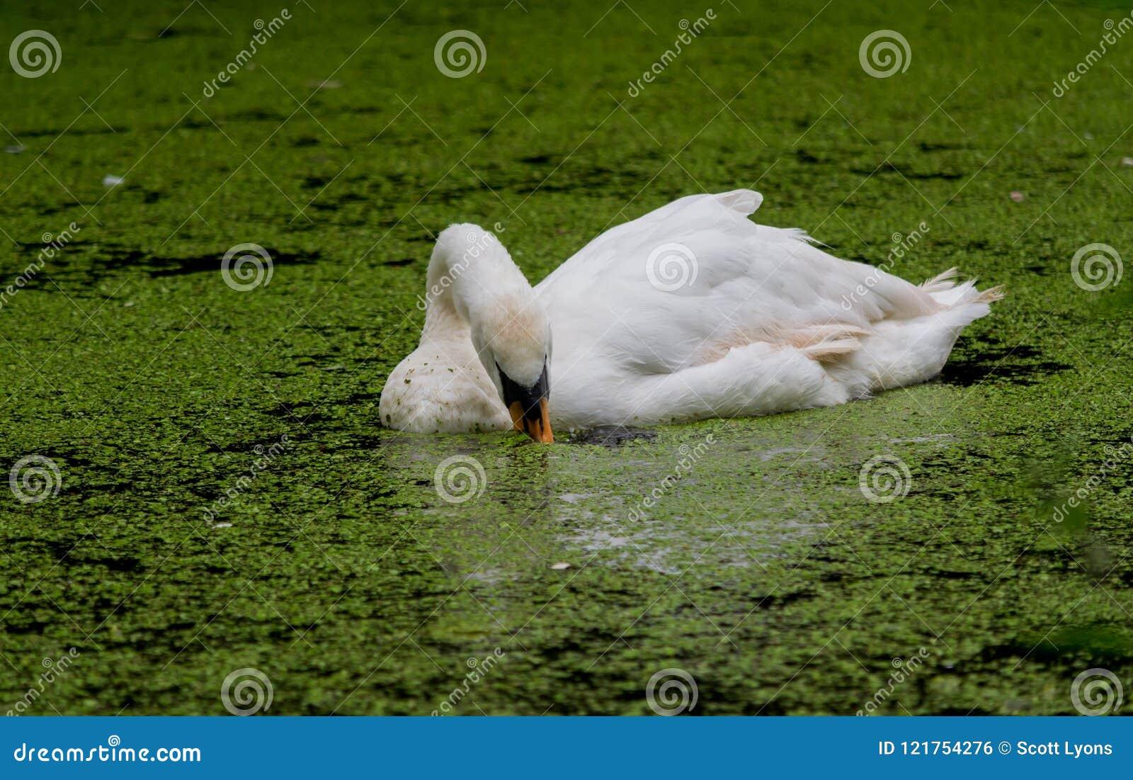 Κύκνος που κολυμπά μέσω των αλγών τρώγοντας