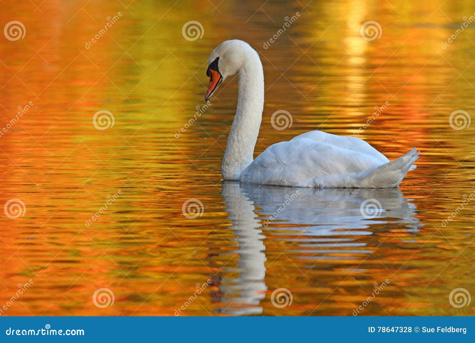 Κύκνος σε μια χρυσή λίμνη